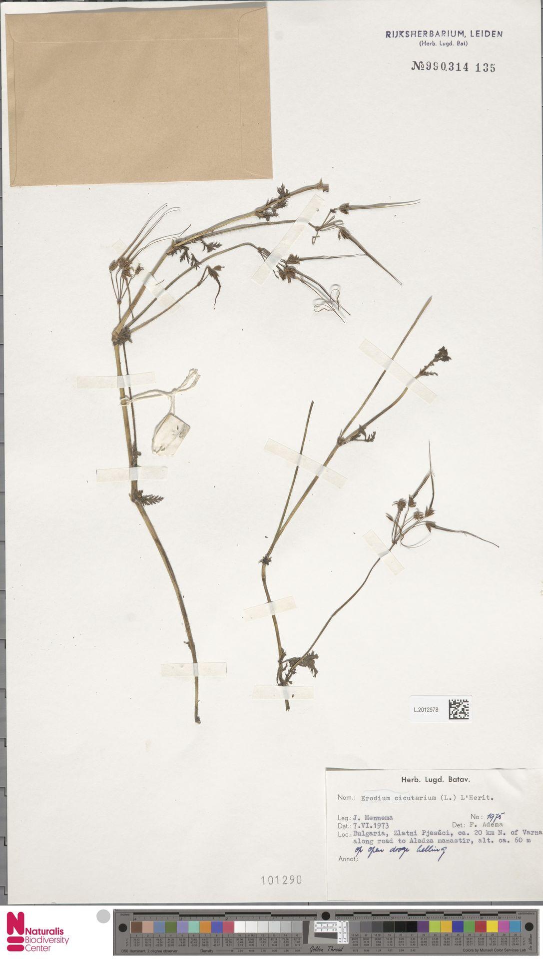 L.2012978   Erodium cicutarium (L.) L'Hér.