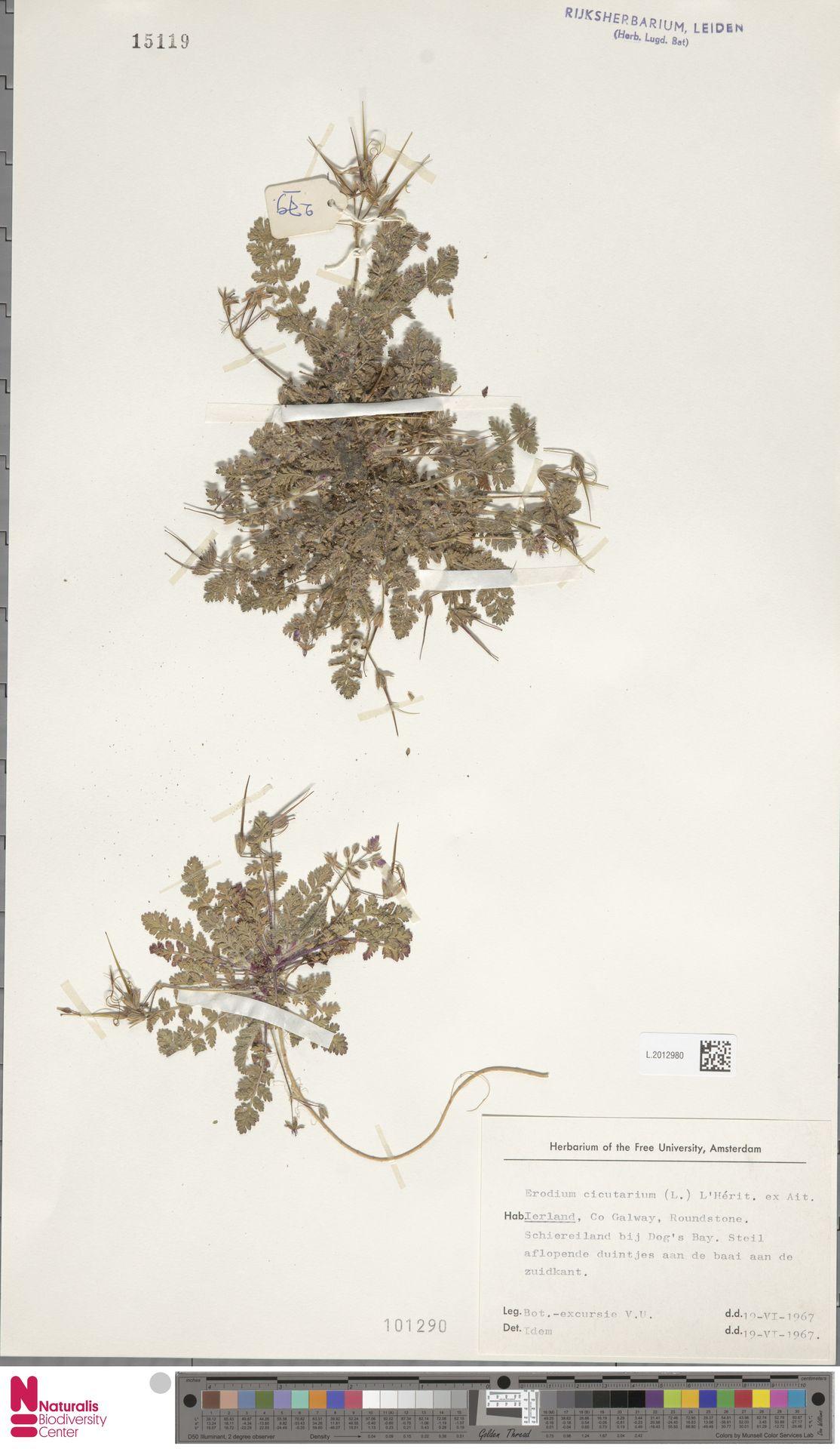 L.2012980 | Erodium cicutarium (L.) L'Hér.