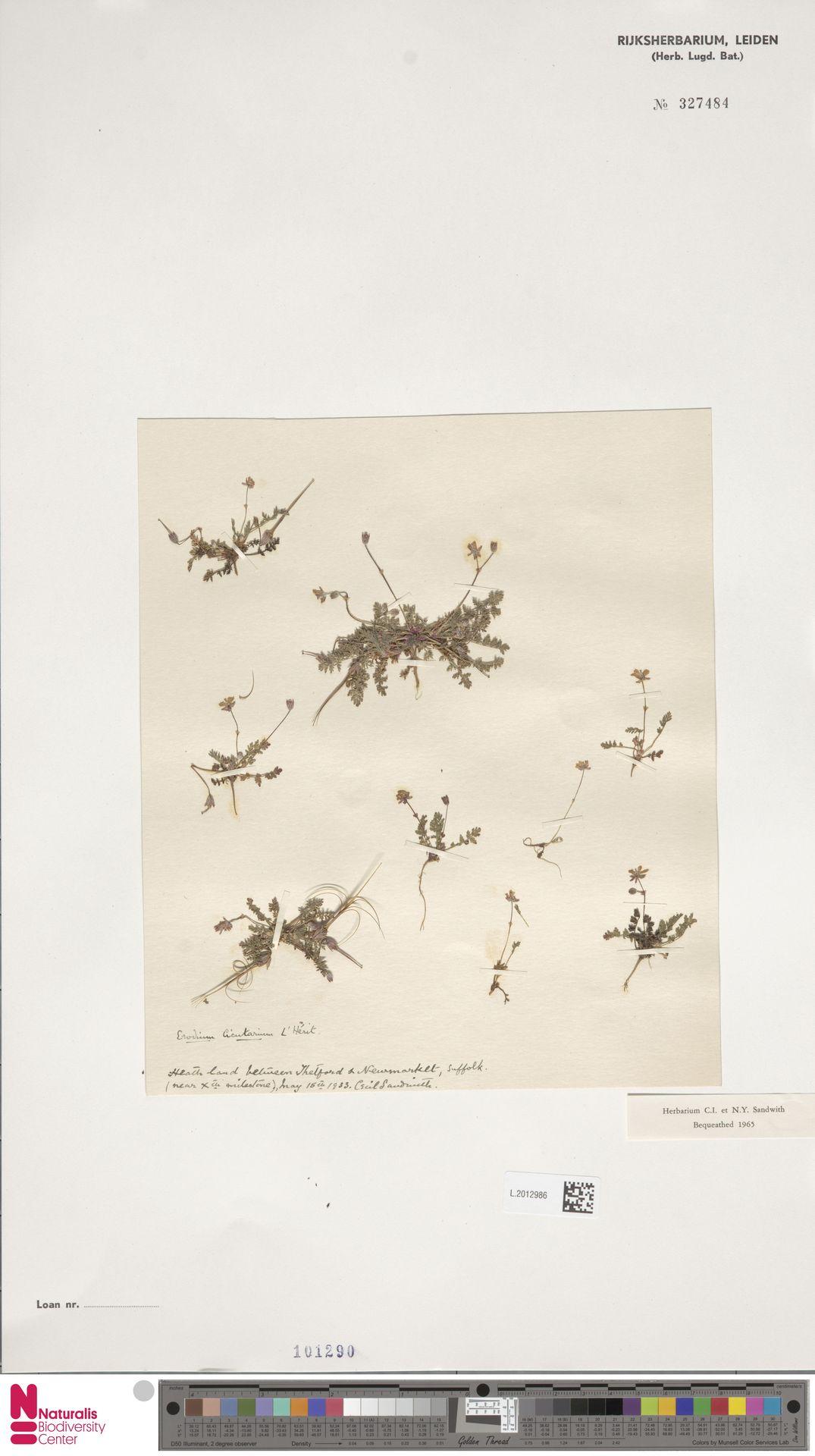 L.2012986 | Erodium cicutarium (L.) L'Hér.