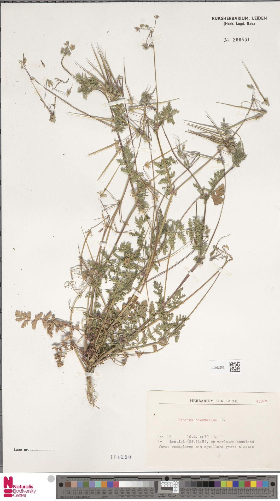 L.2012988 | Erodium cicutarium (L.) L'Hér.