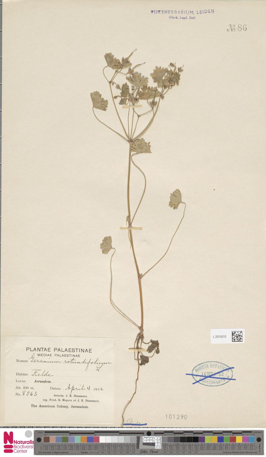 L.2015010 | Geranium rotundifolium L.