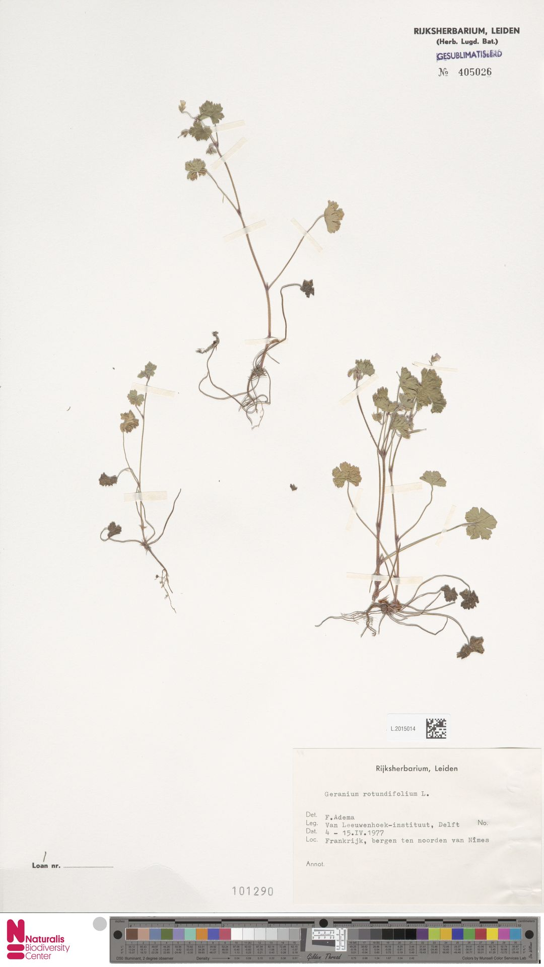 L.2015014   Geranium rotundifolium L.