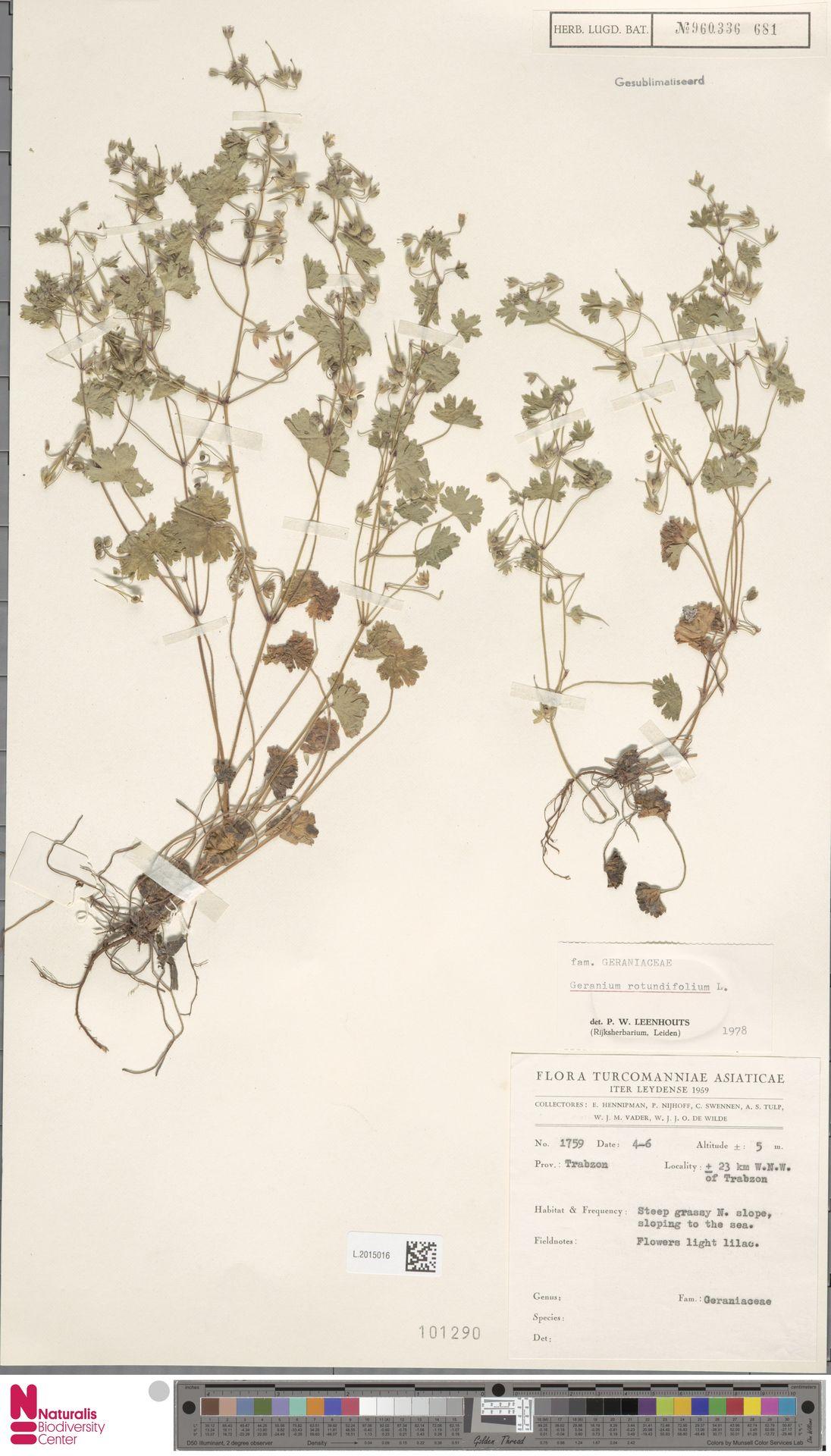 L.2015016 | Geranium rotundifolium L.