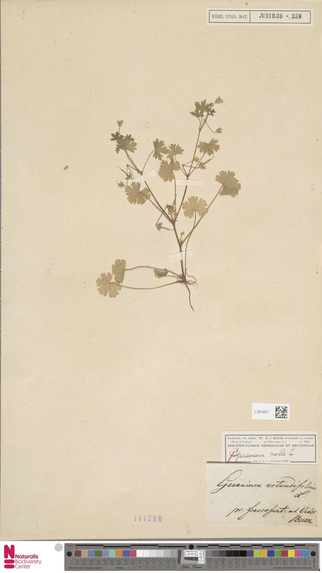 L.2015017 | Geranium rotundifolium L.