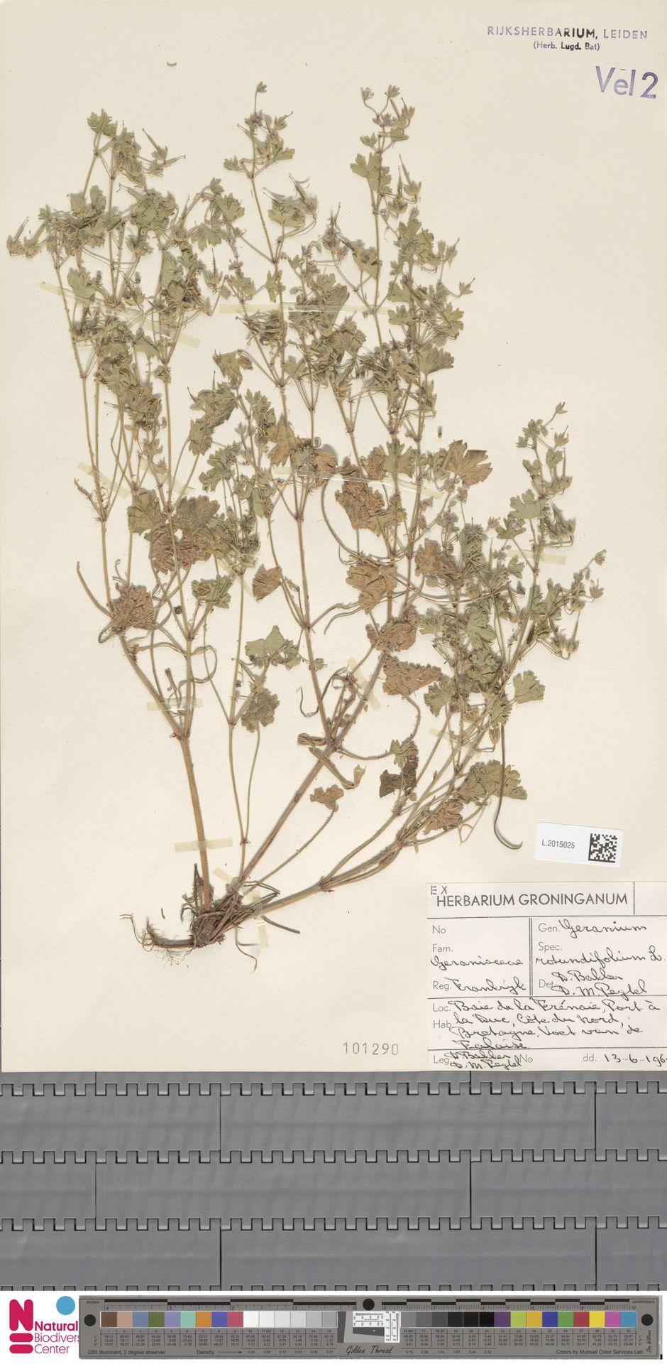 L.2015025   Geranium rotundifolium L.