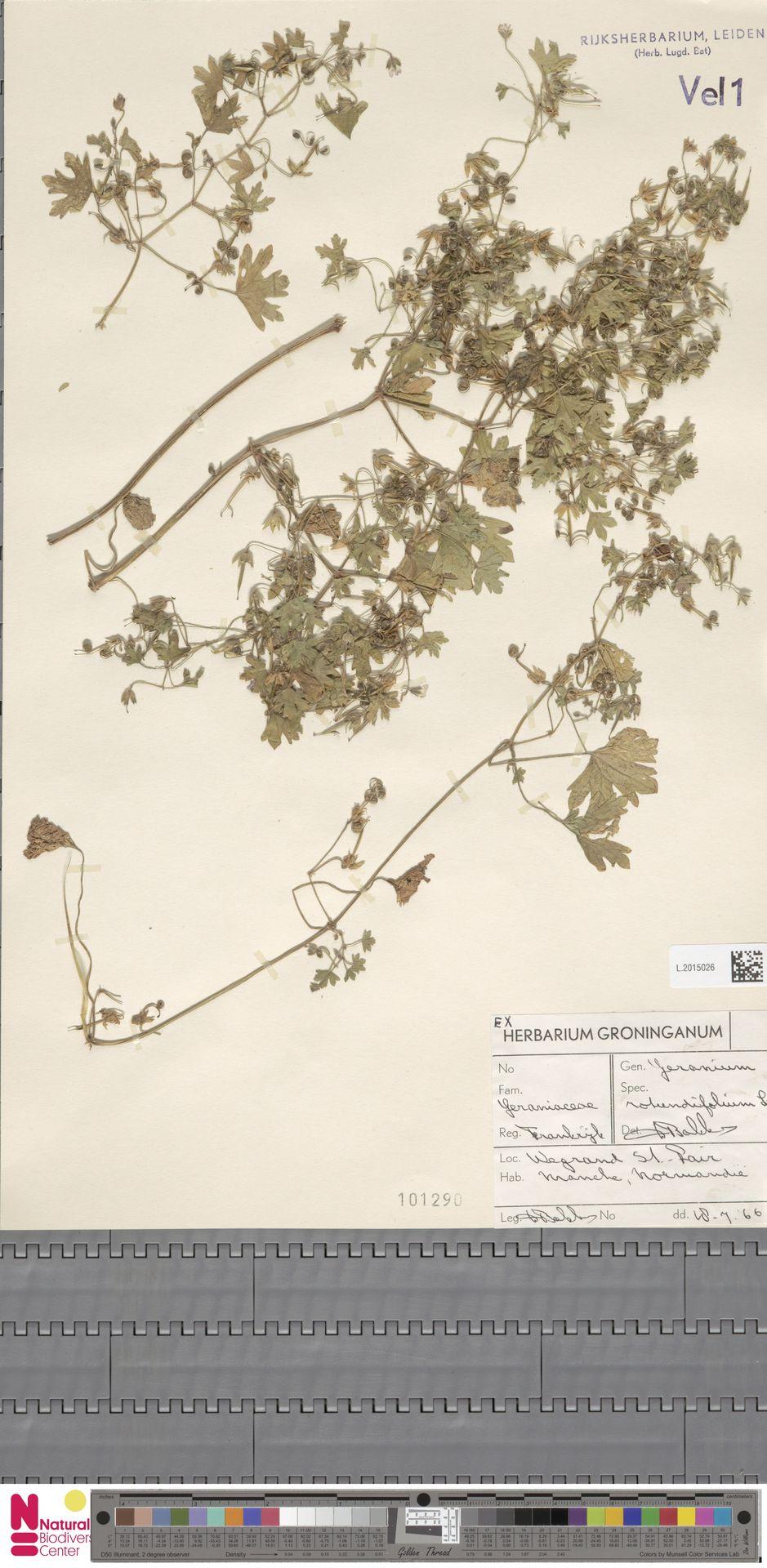 L.2015026 | Geranium rotundifolium L.
