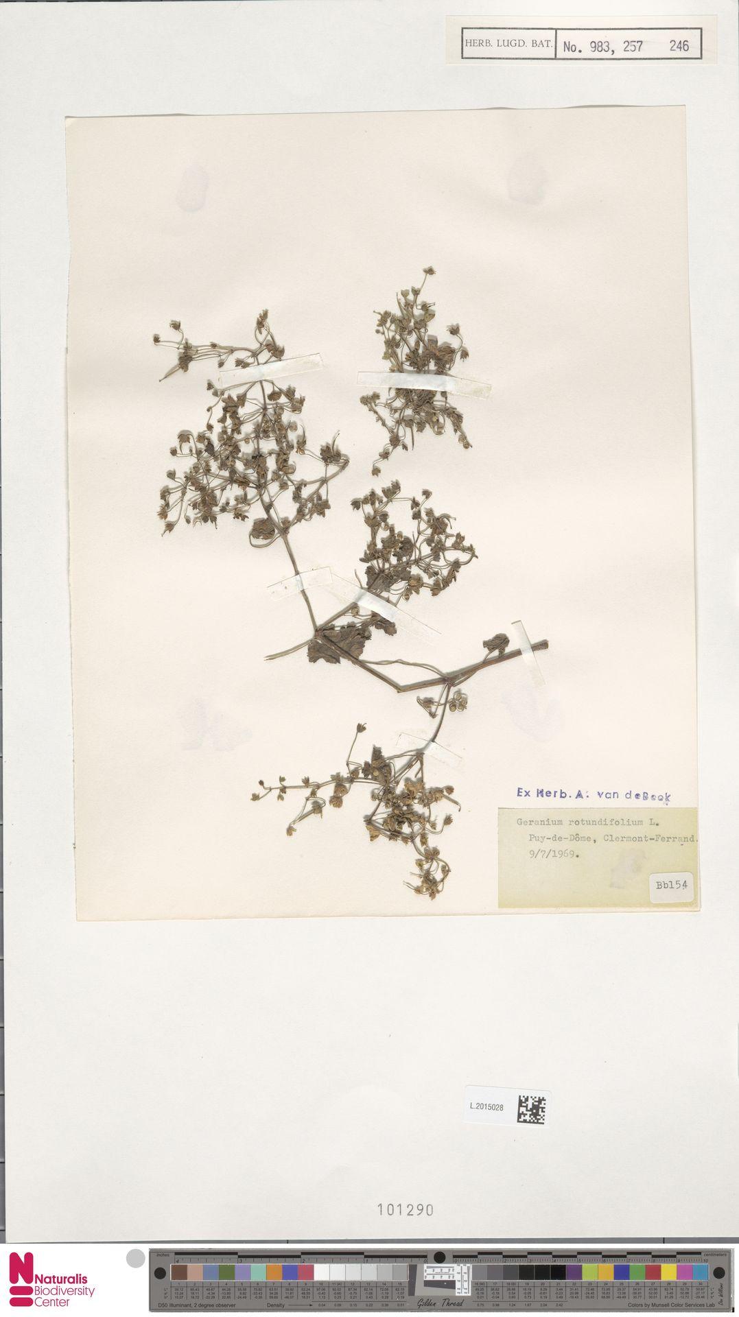 L.2015028 | Geranium rotundifolium L.