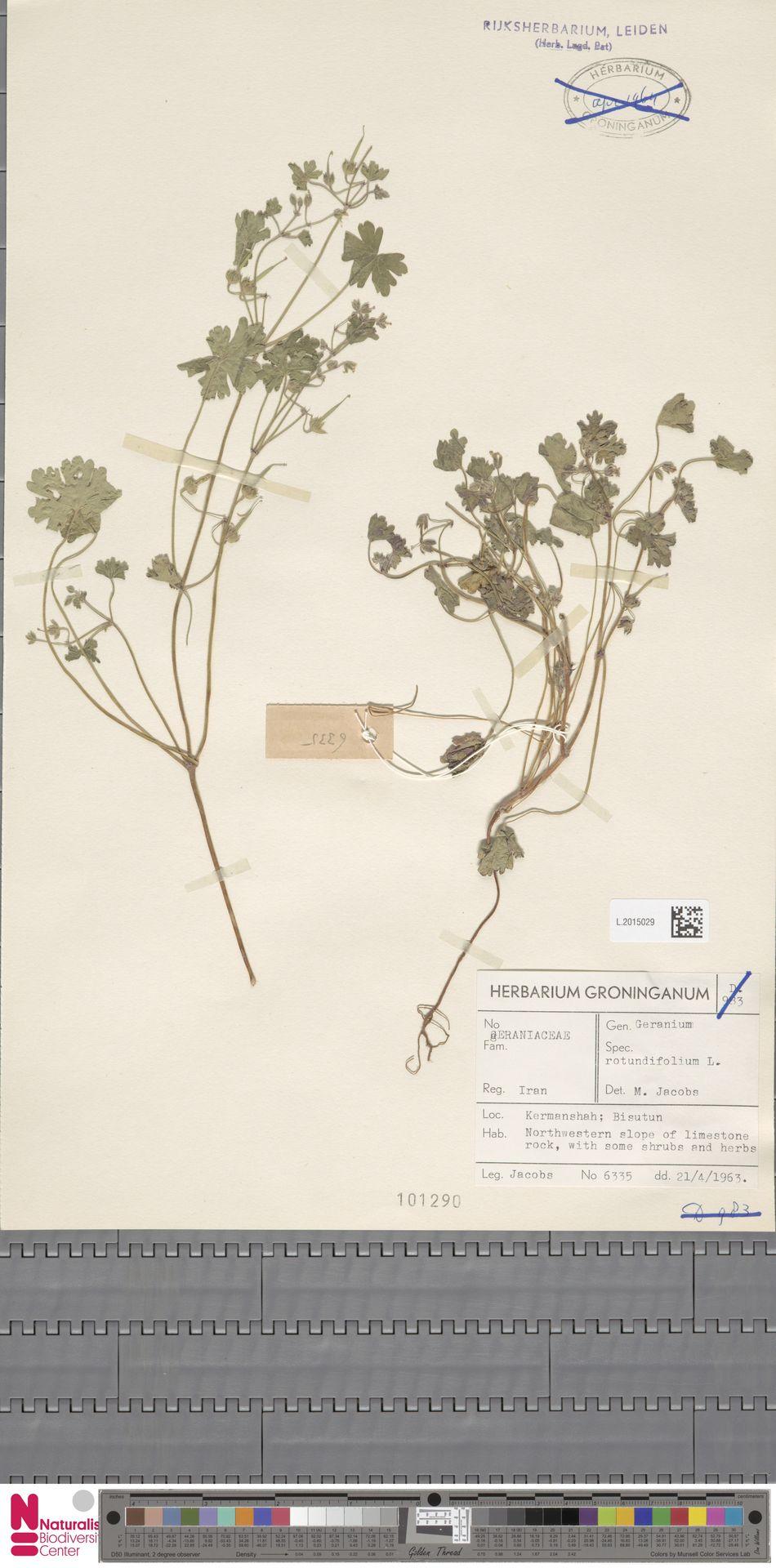 L.2015029 | Geranium rotundifolium L.