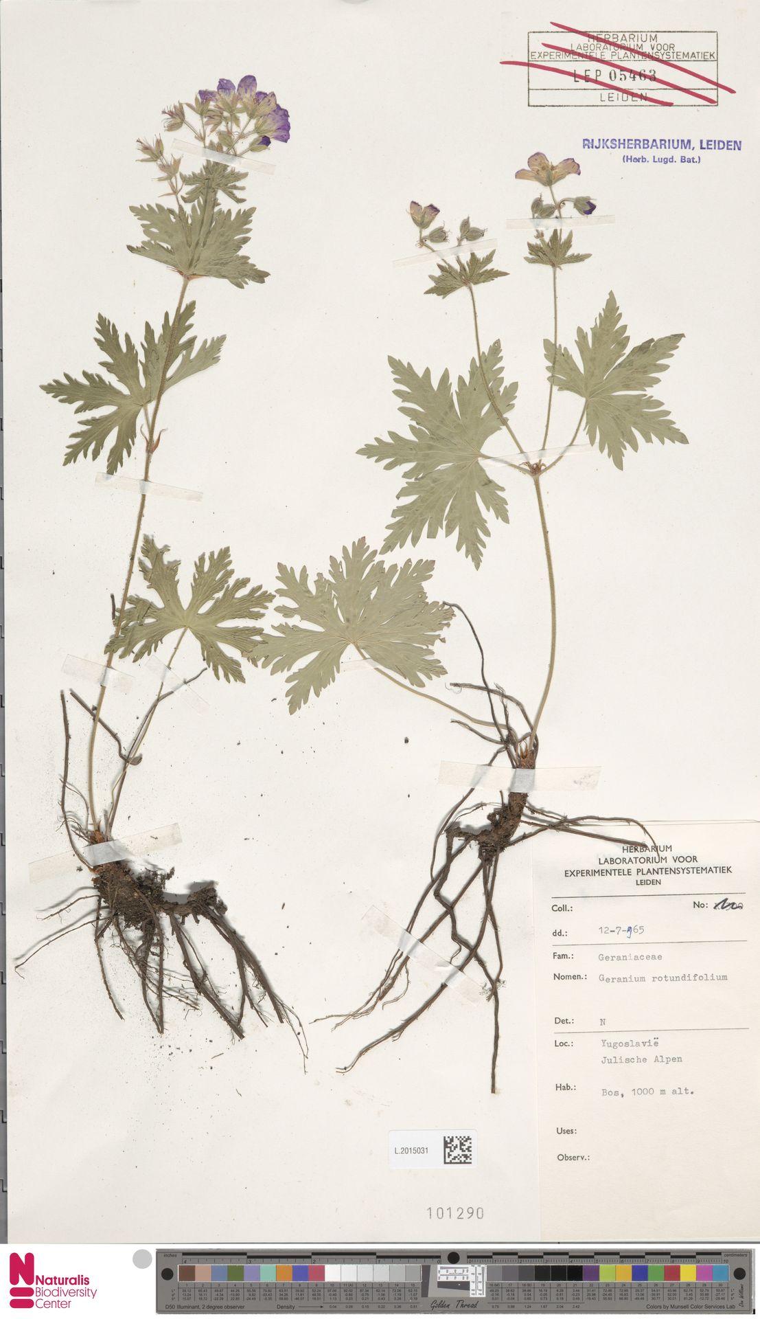 L.2015031 | Geranium rotundifolium L.