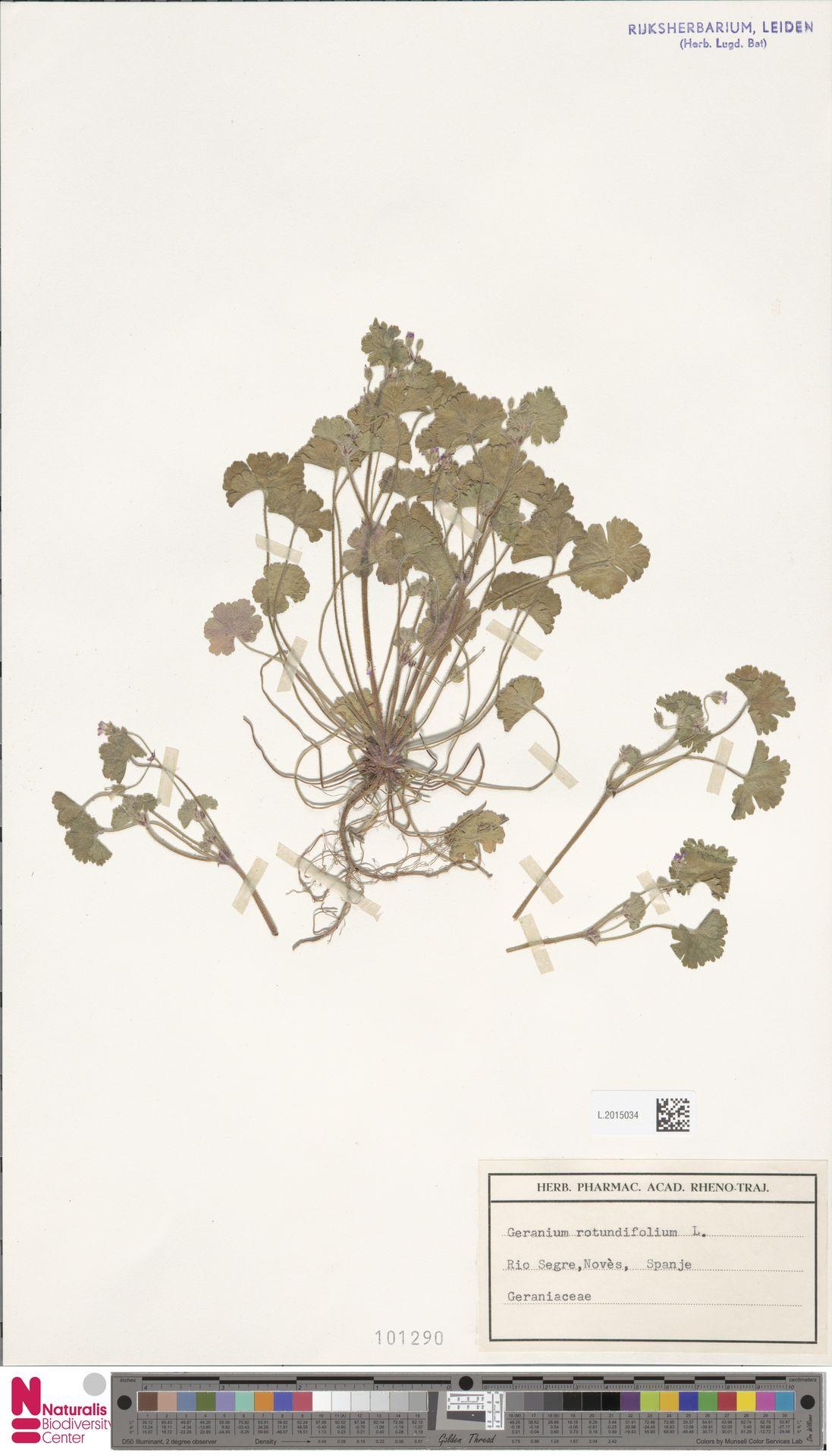 L.2015034   Geranium rotundifolium L.