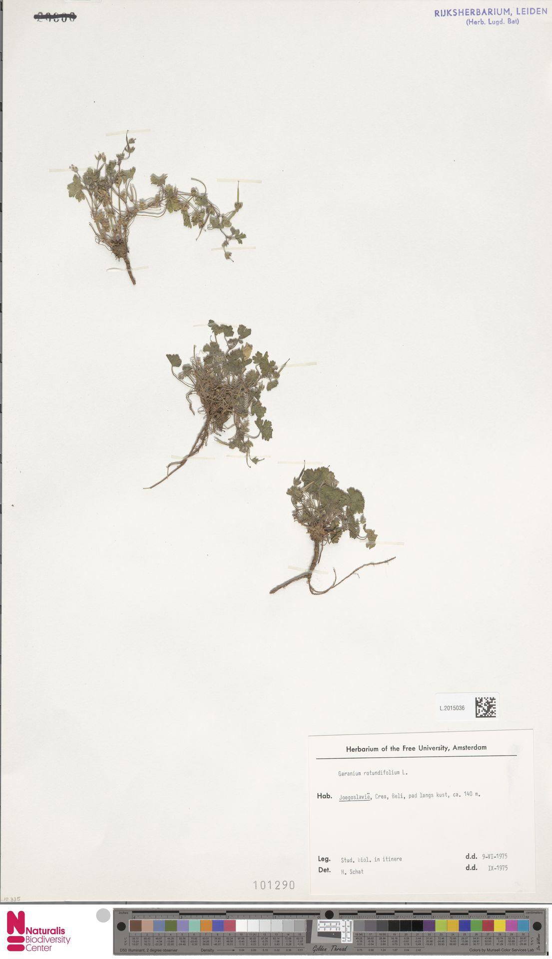L.2015036 | Geranium rotundifolium L.