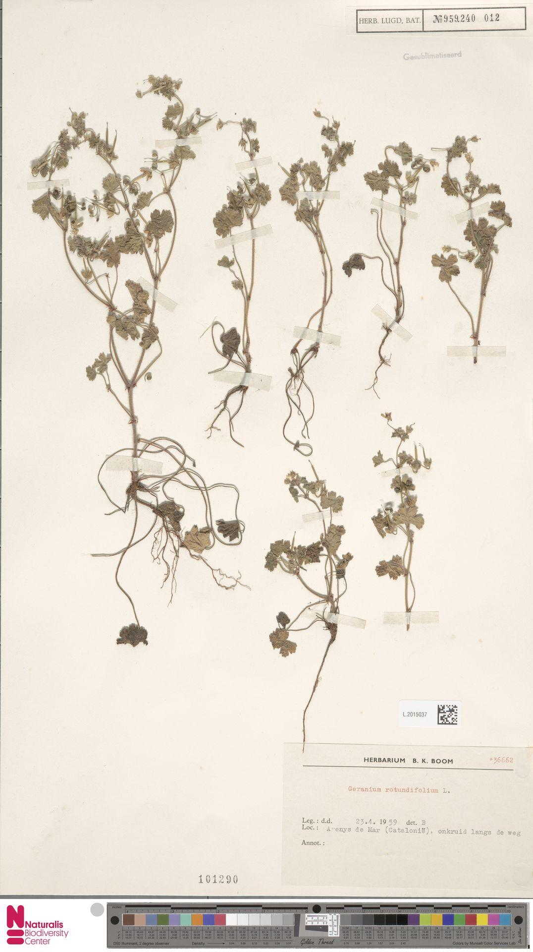 L.2015037 | Geranium rotundifolium L.