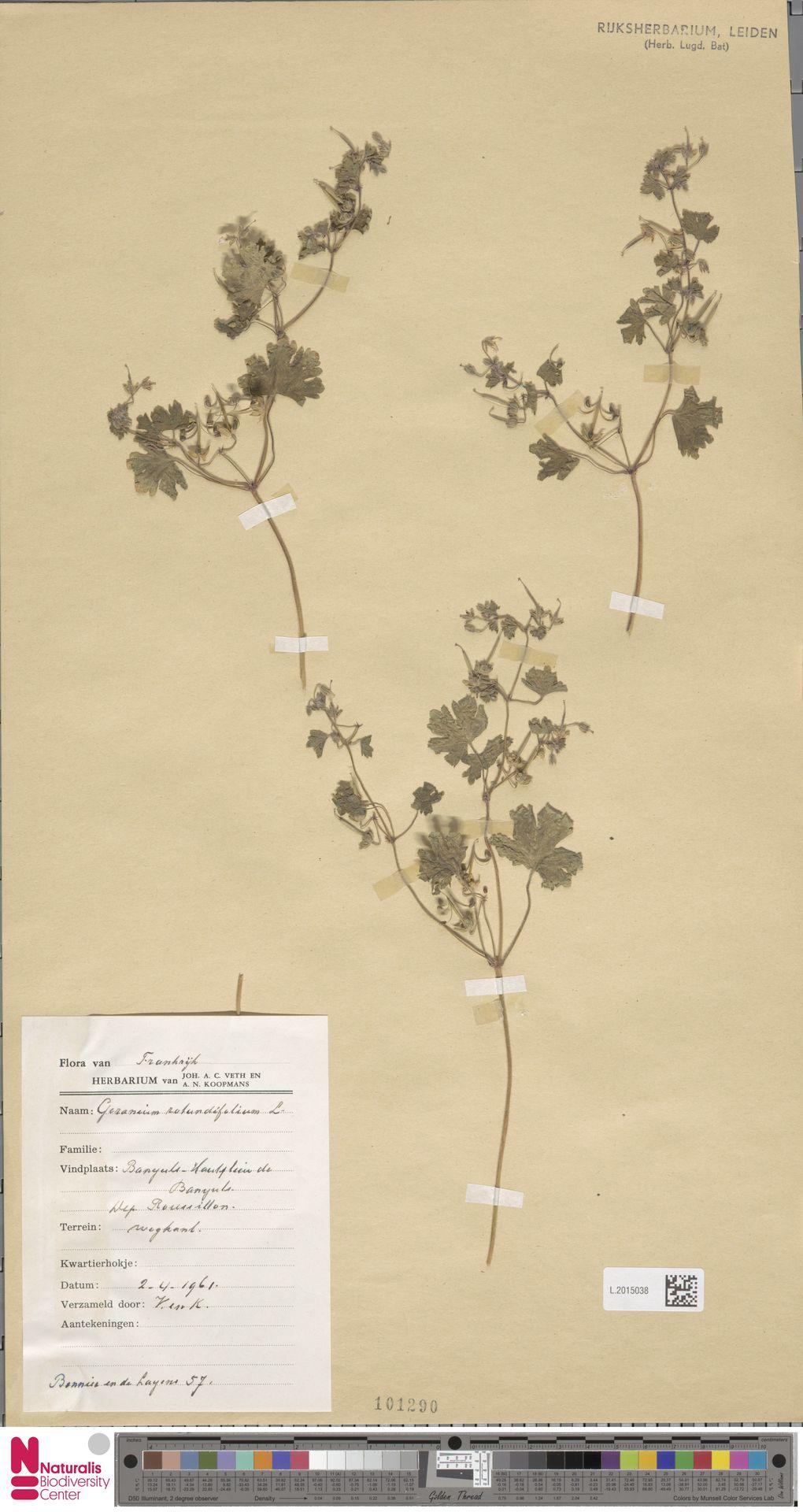 L.2015038 | Geranium rotundifolium L.