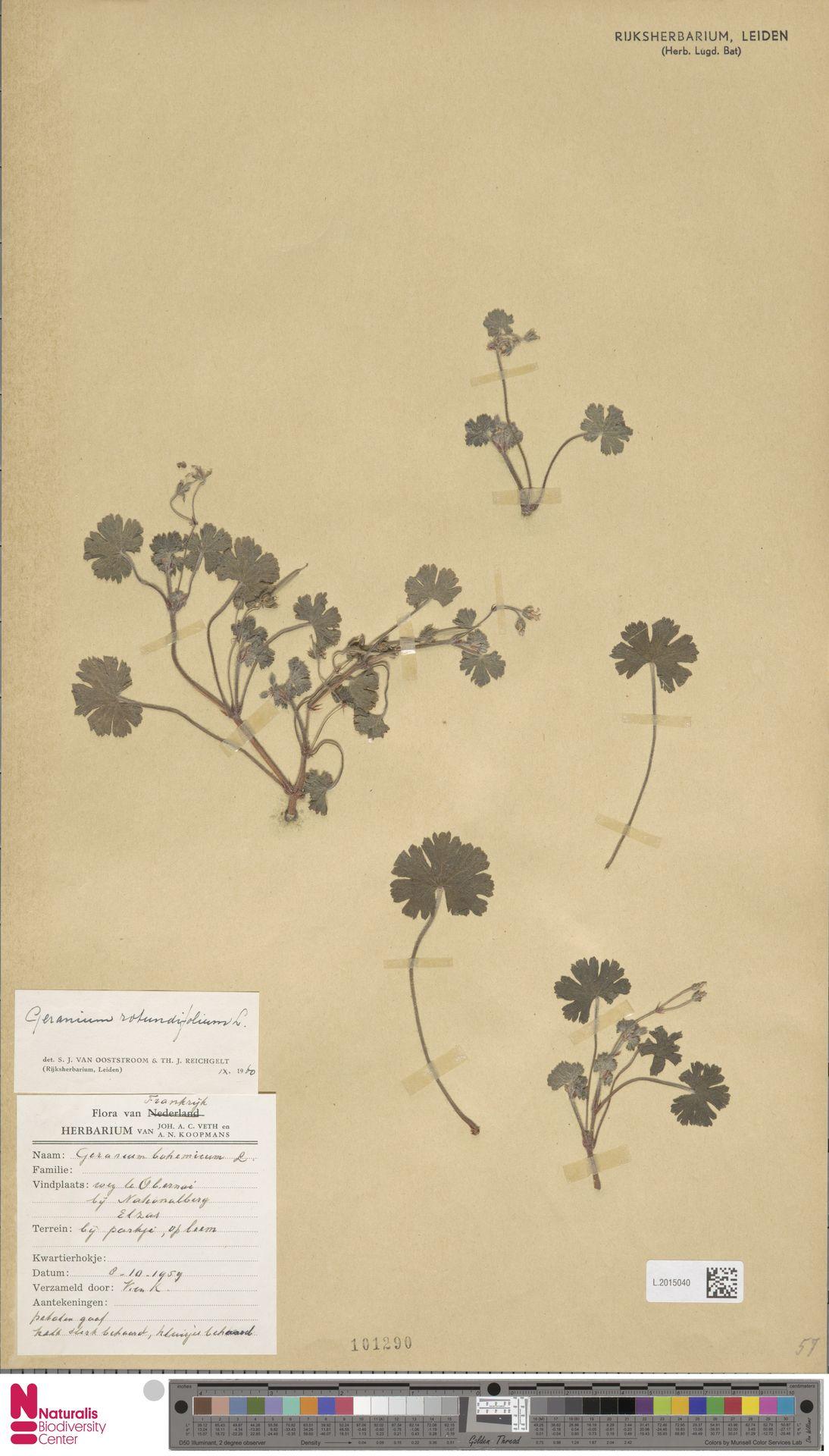 L.2015040 | Geranium rotundifolium L.