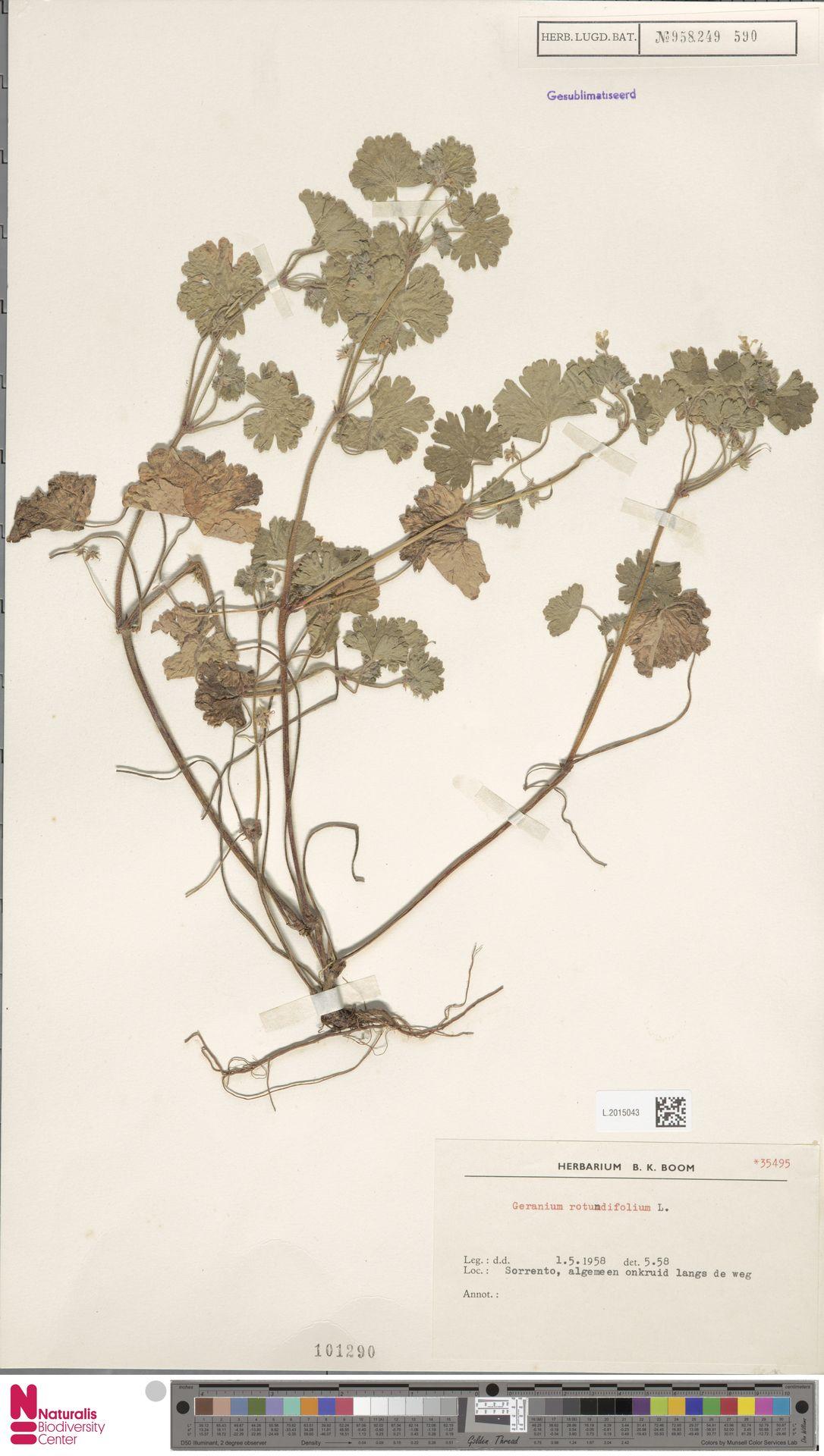 L.2015043 | Geranium rotundifolium L.