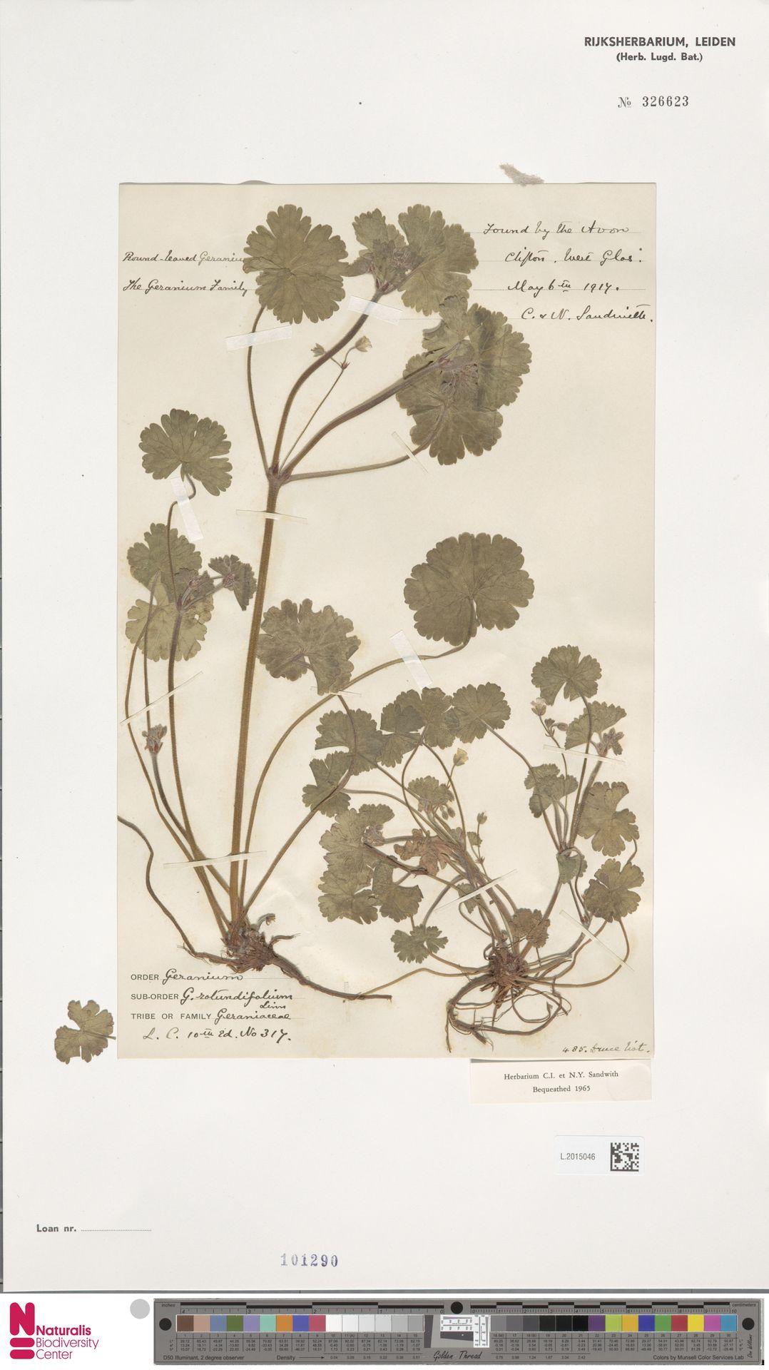 L.2015046   Geranium rotundifolium L.
