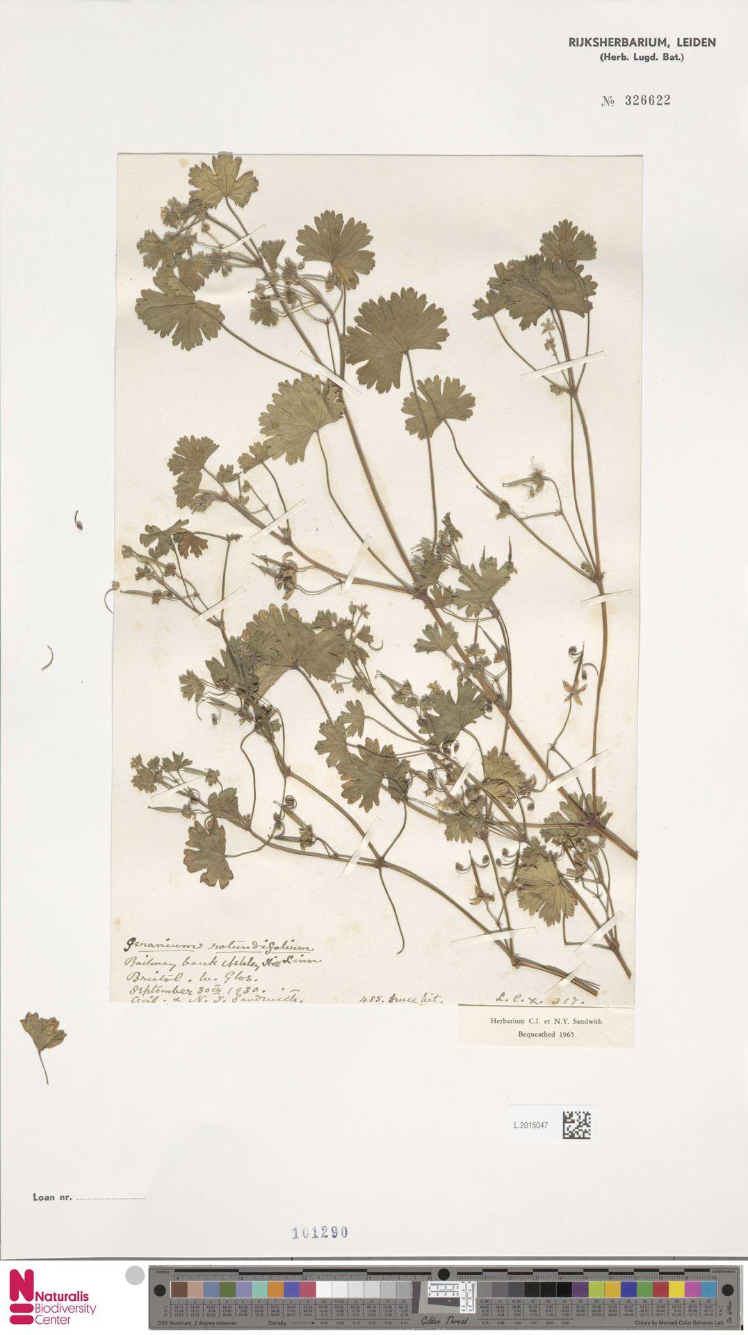L.2015047   Geranium rotundifolium L.