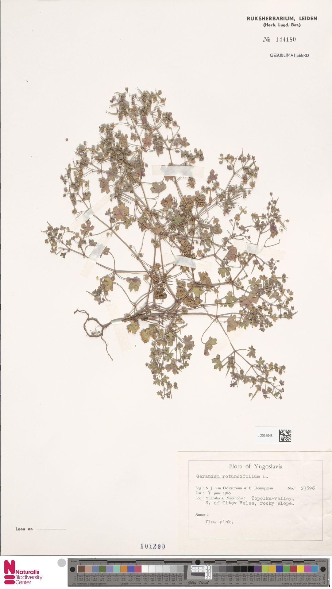 L.2015048 | Geranium rotundifolium L.