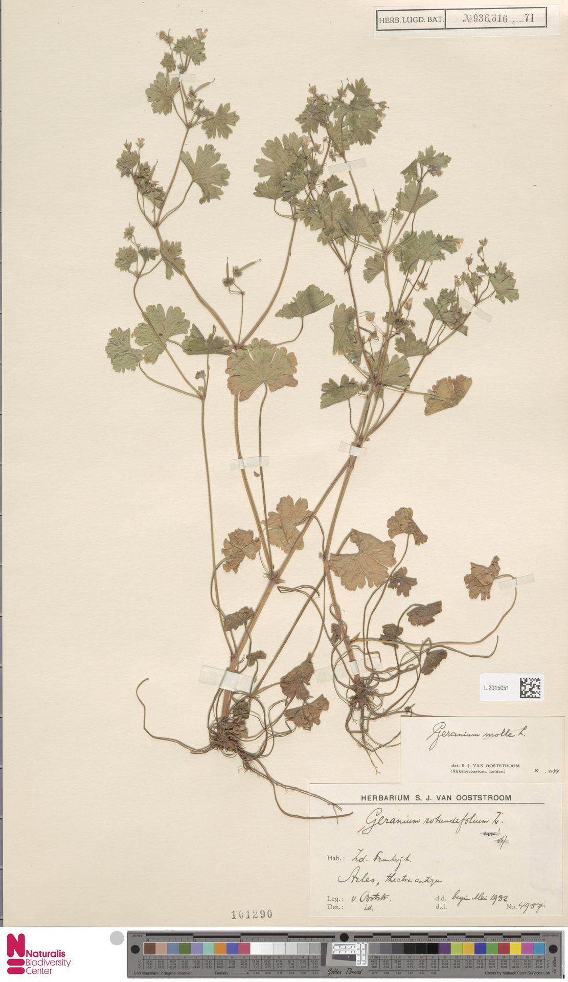 L.2015051   Geranium rotundifolium L.