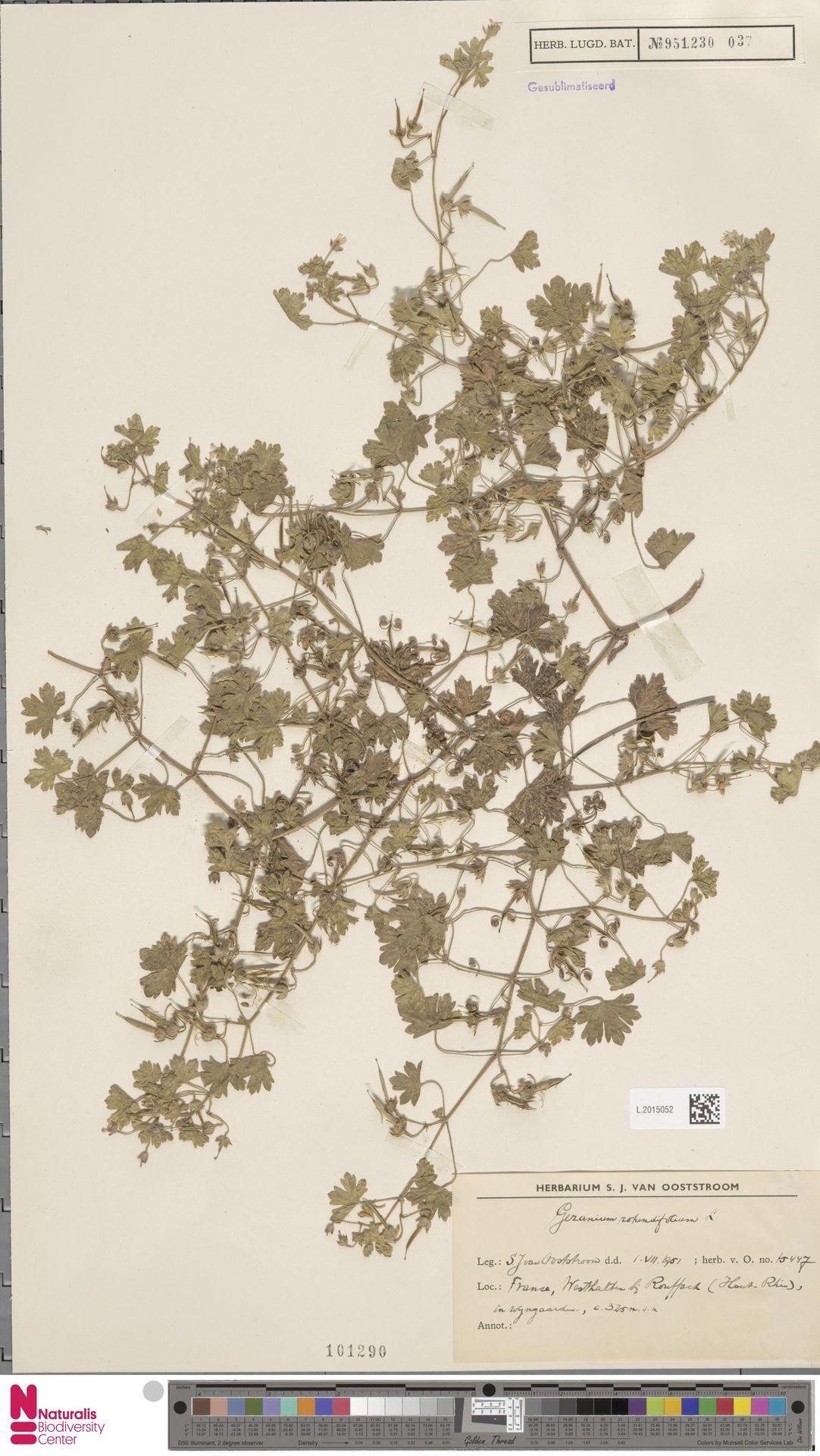 L.2015052 | Geranium rotundifolium L.