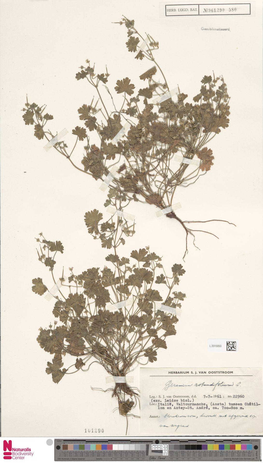L.2015053   Geranium rotundifolium L.