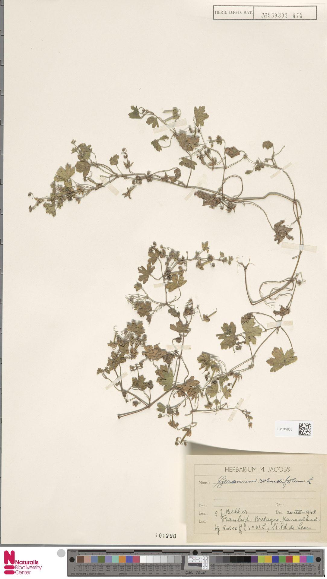 L.2015055   Geranium rotundifolium L.
