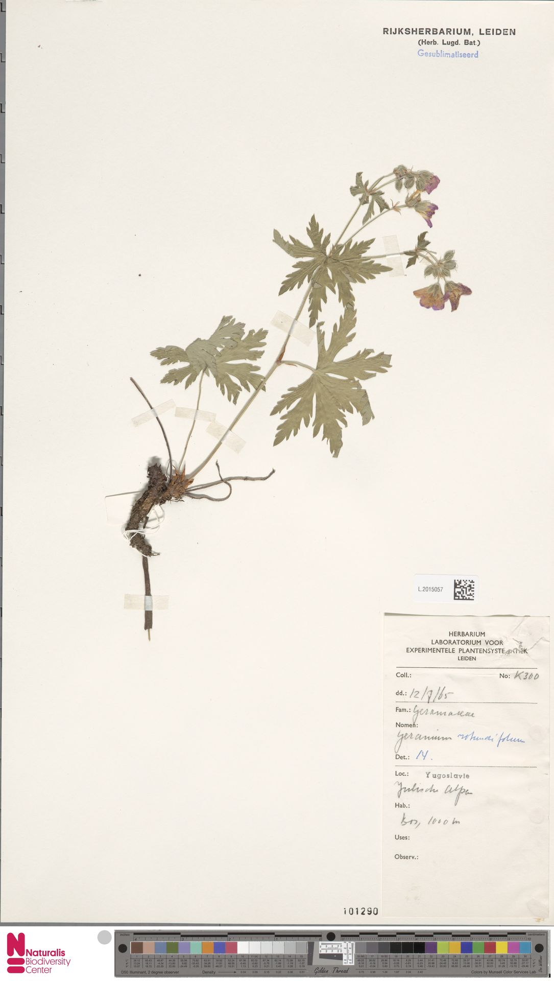 L.2015057 | Geranium rotundifolium L.