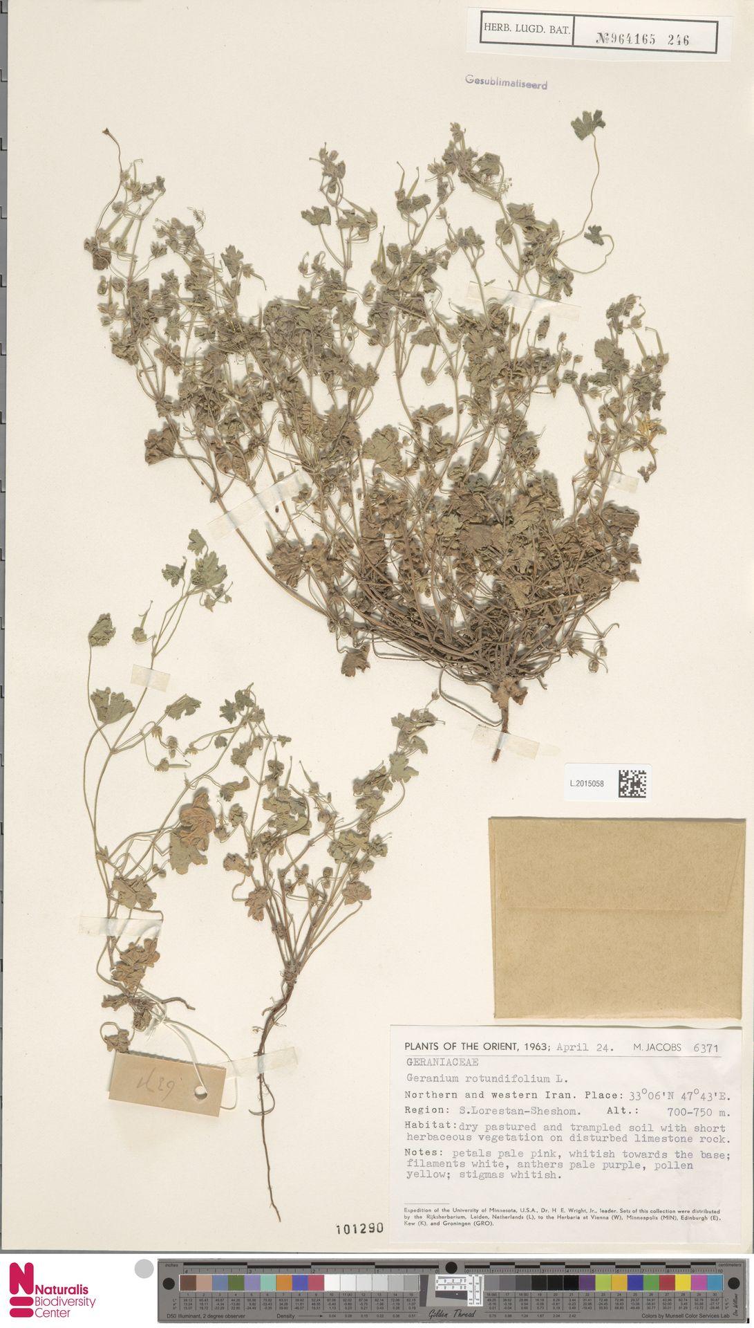 L.2015058   Geranium rotundifolium L.