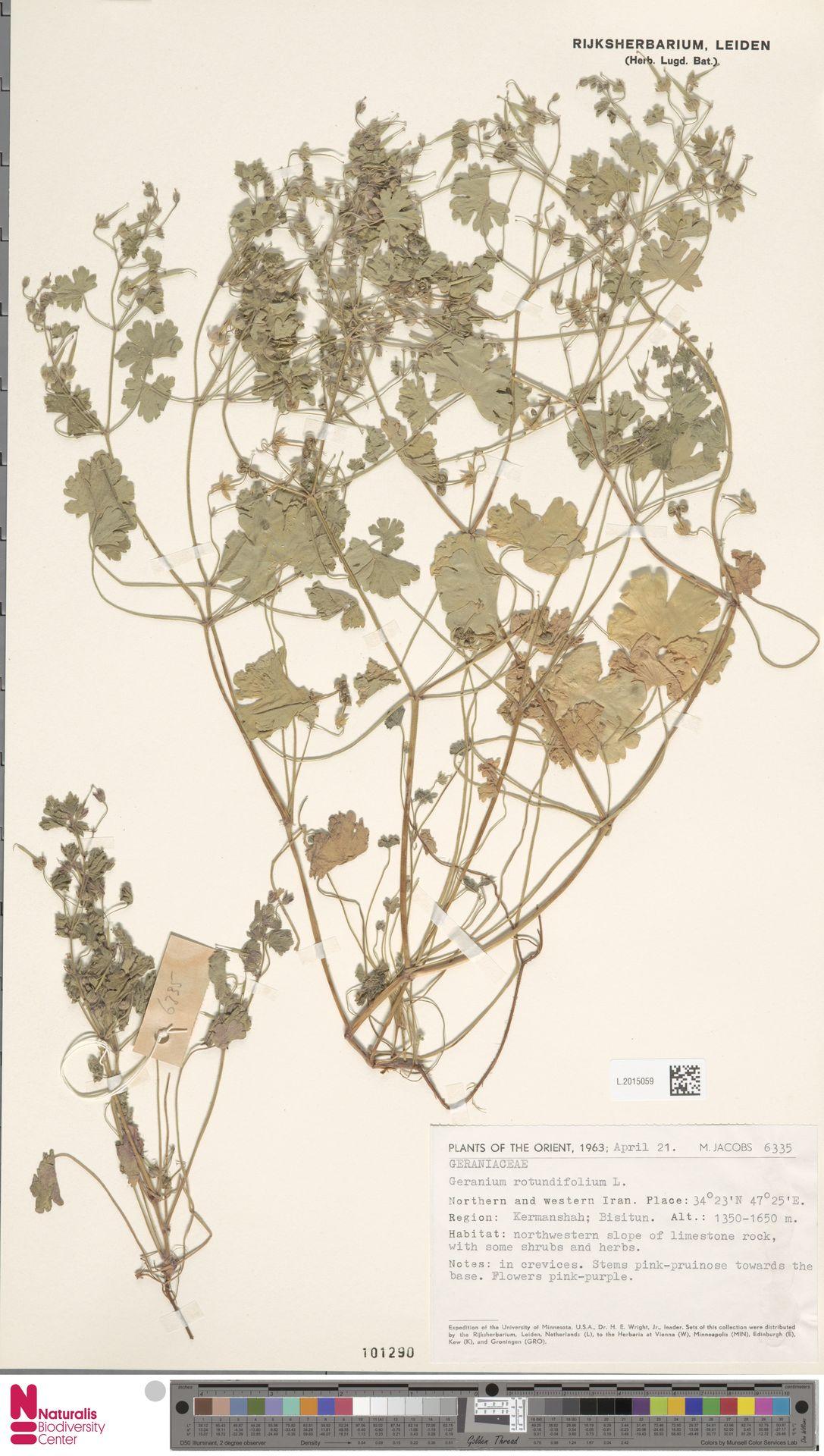 L.2015059 | Geranium rotundifolium L.