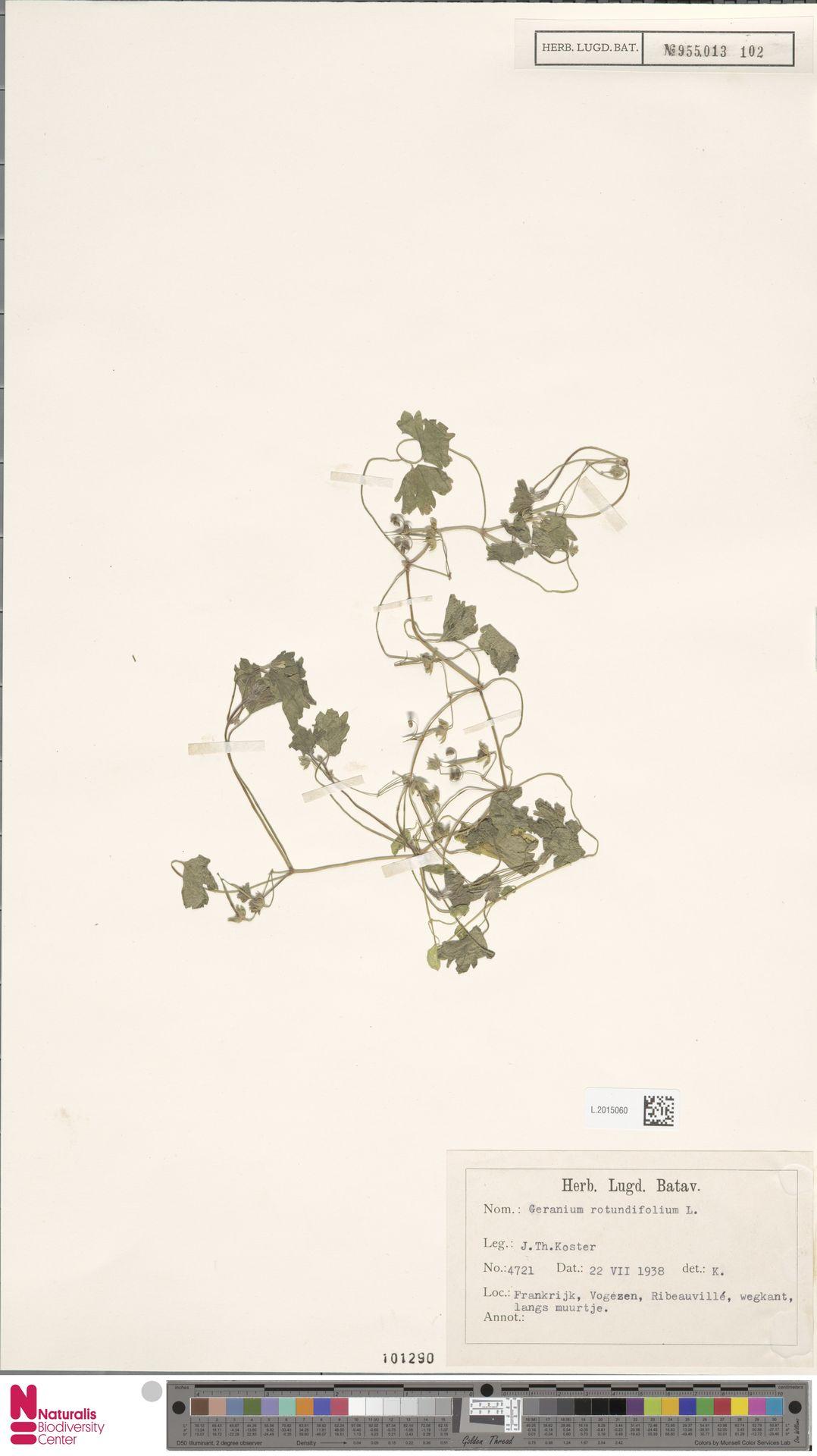 L.2015060 | Geranium rotundifolium L.