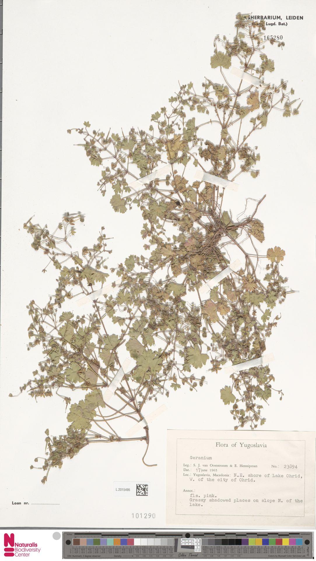L.2015495 | Geranium rotundifolium L.