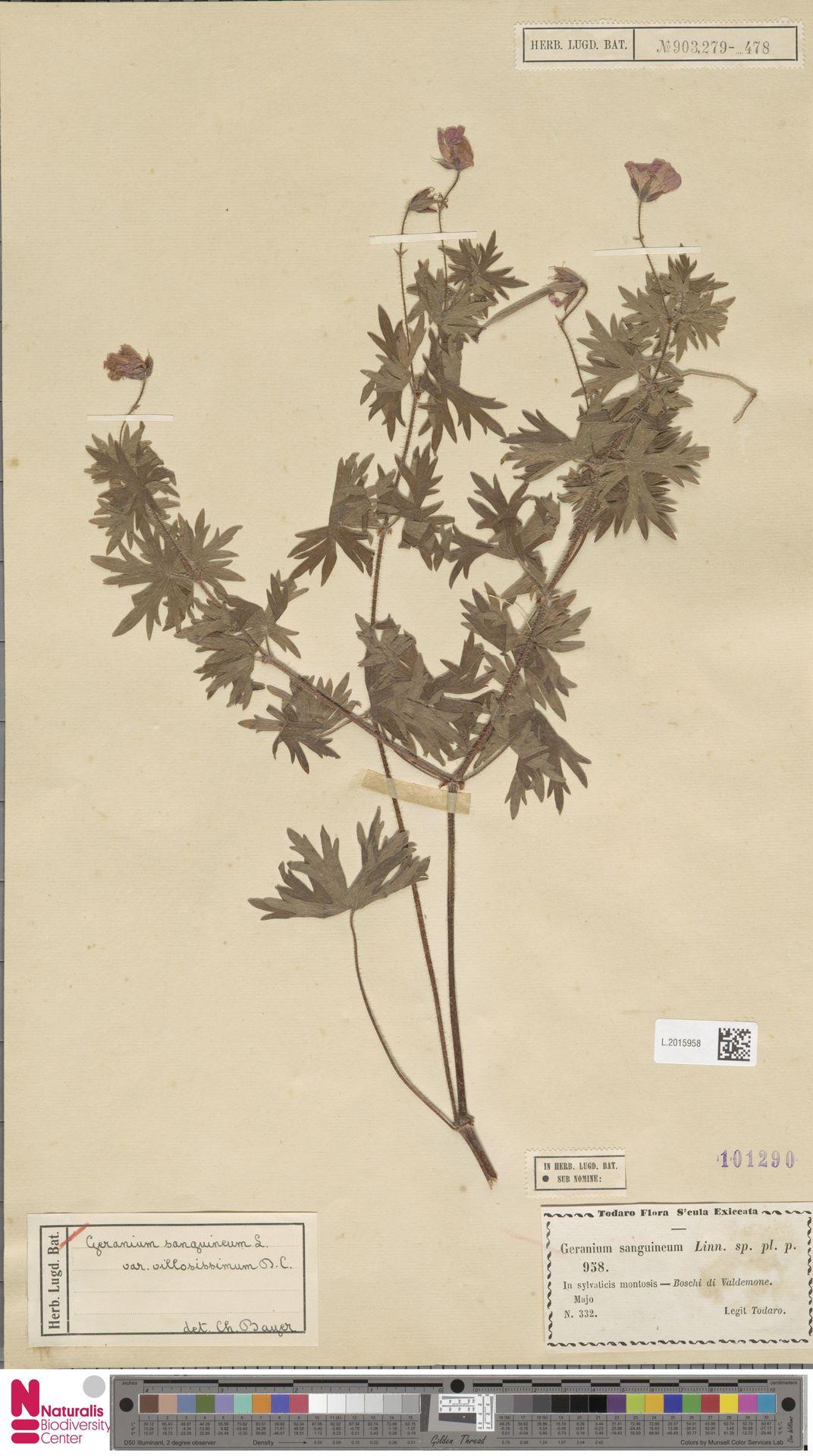 L.2015958   Geranium sanguineum L.