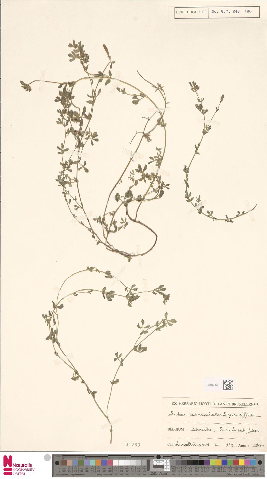 L.2046069 | Lotus corniculatus L.