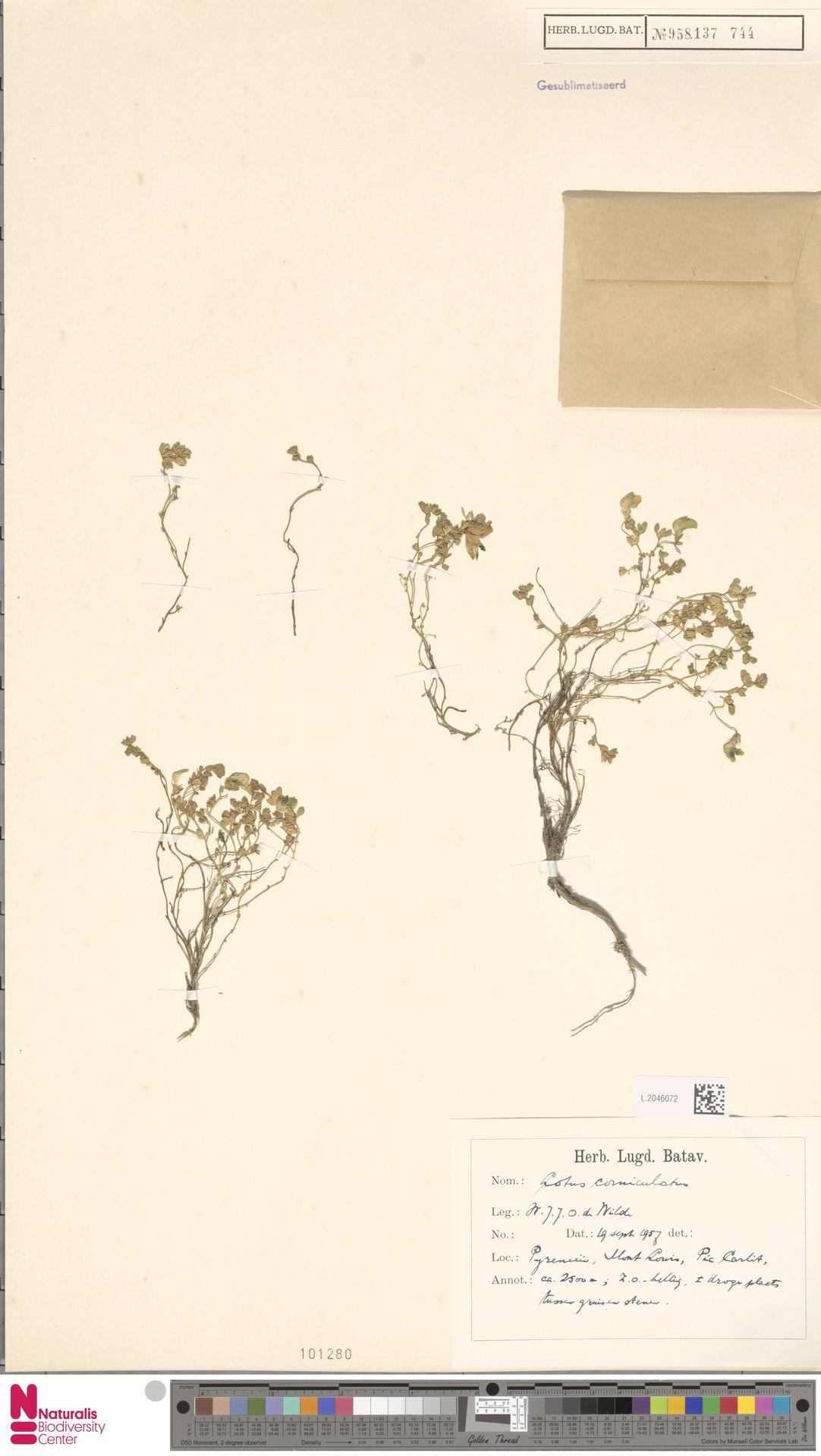 L.2046072   Lotus corniculatus L.