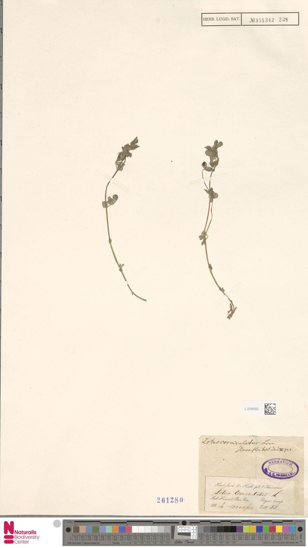 L.2046083 | Lotus corniculatus L.