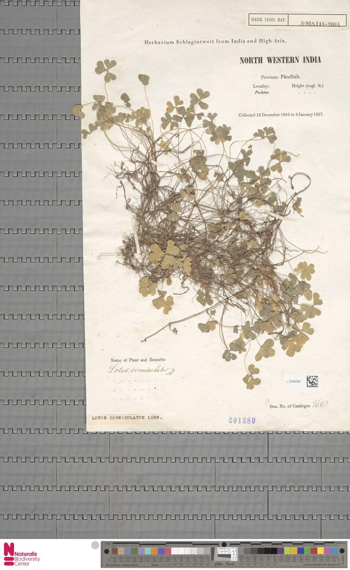 L.2046085 | Lotus corniculatus L.