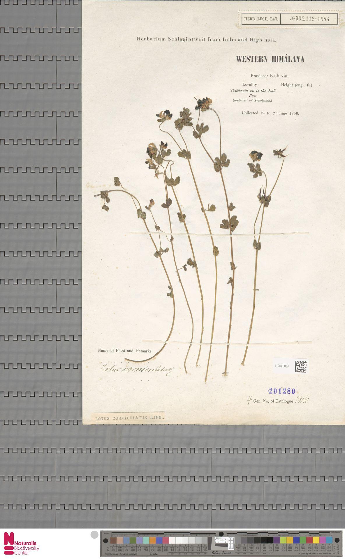 L.2046087 | Lotus corniculatus L.