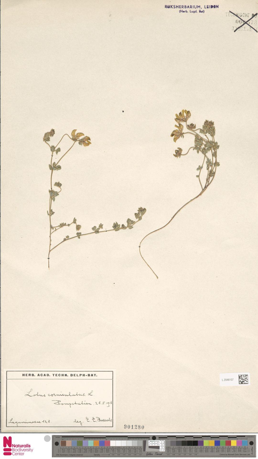 L.2046107 | Lotus corniculatus L.