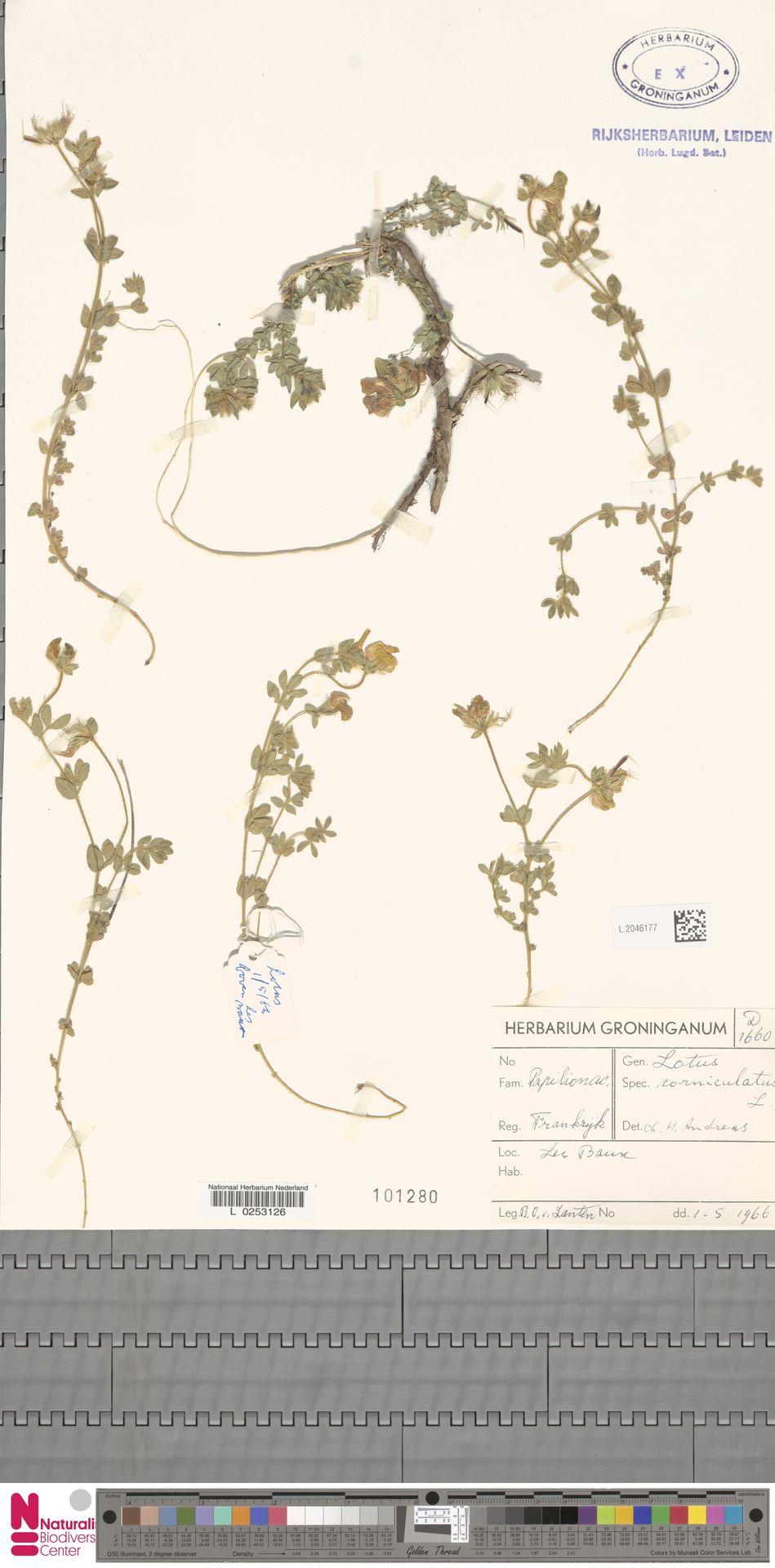 L.2046177 | Lotus corniculatus L.