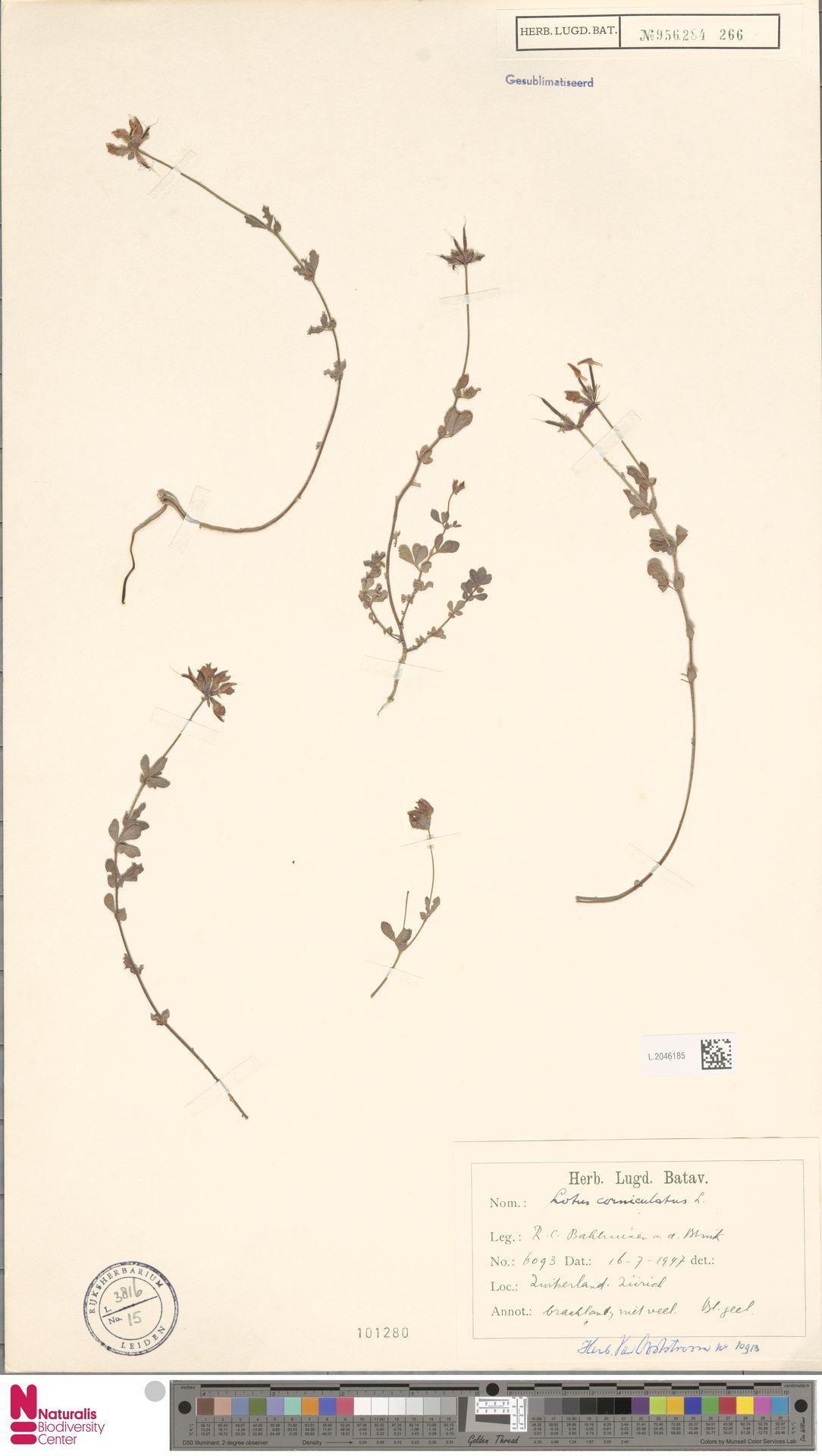 L.2046185 | Lotus corniculatus L.