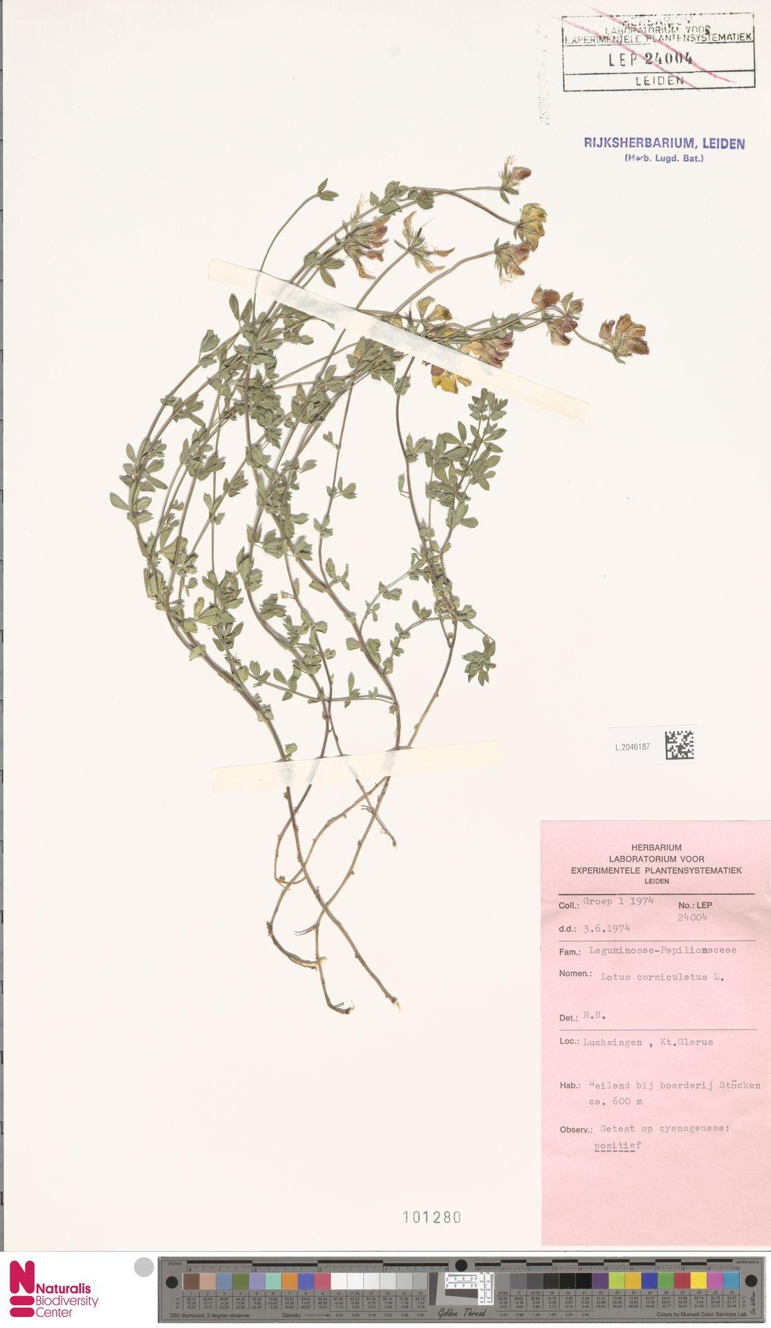 L.2046187 | Lotus corniculatus L.
