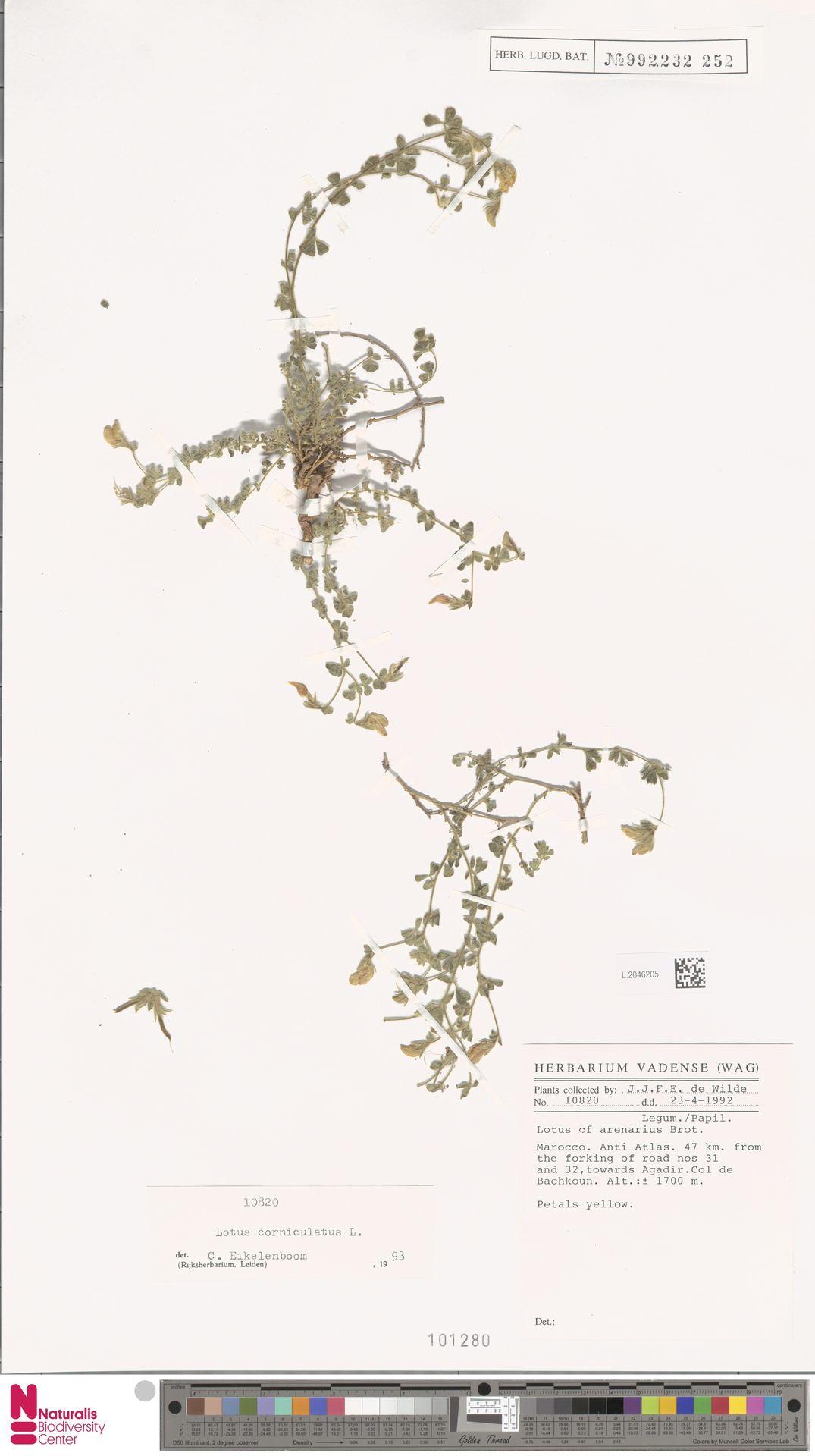 L.2046205 | Lotus corniculatus L.