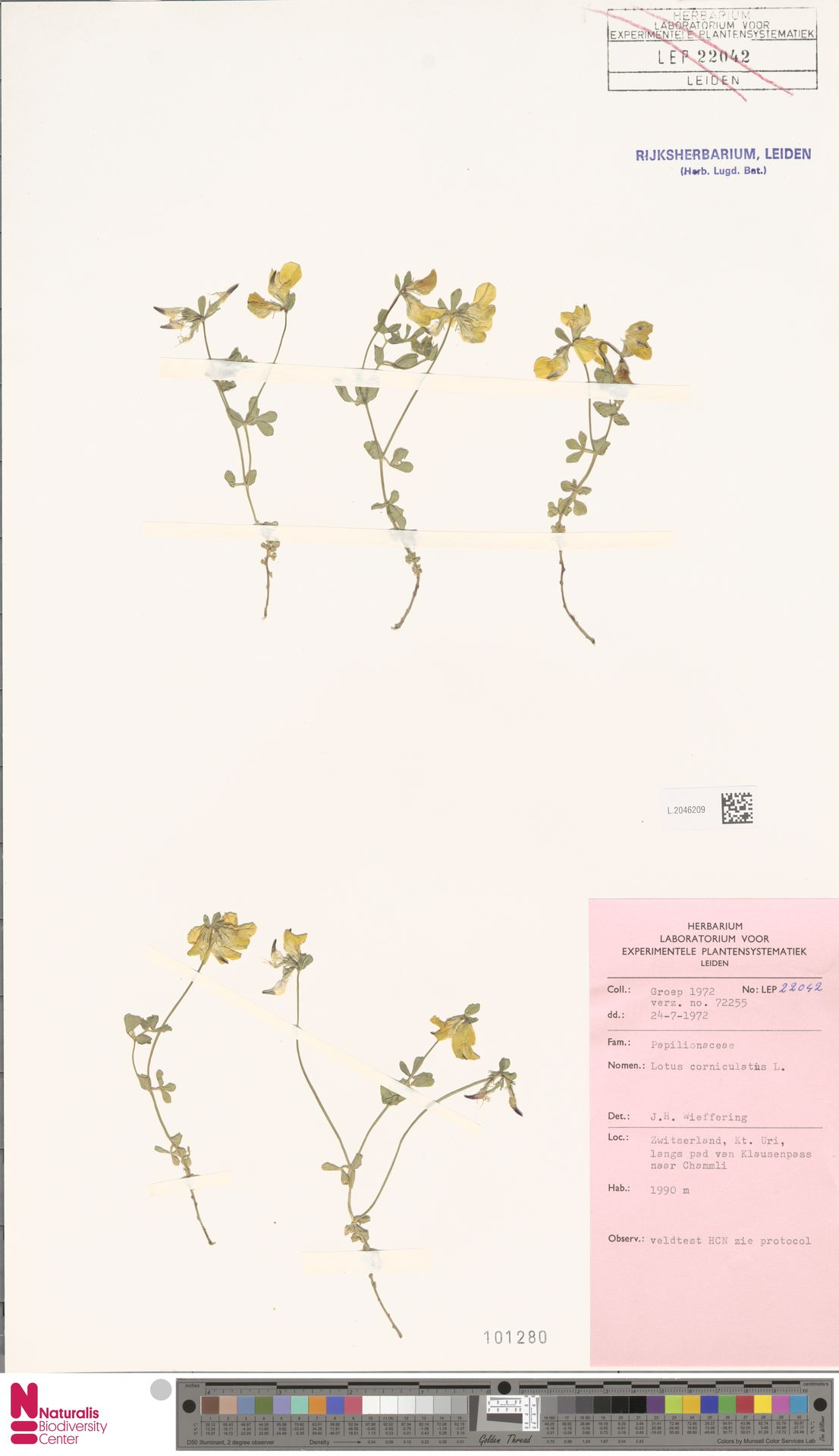 L.2046209   Lotus corniculatus L.