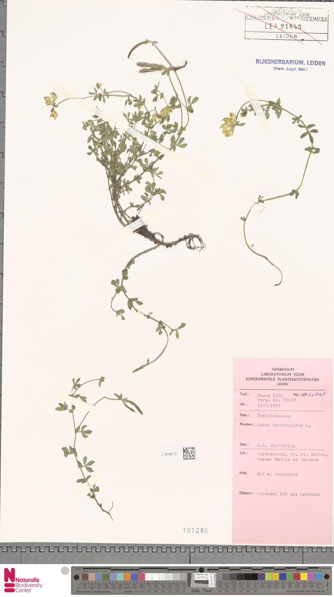 L.2046212 | Lotus corniculatus L.