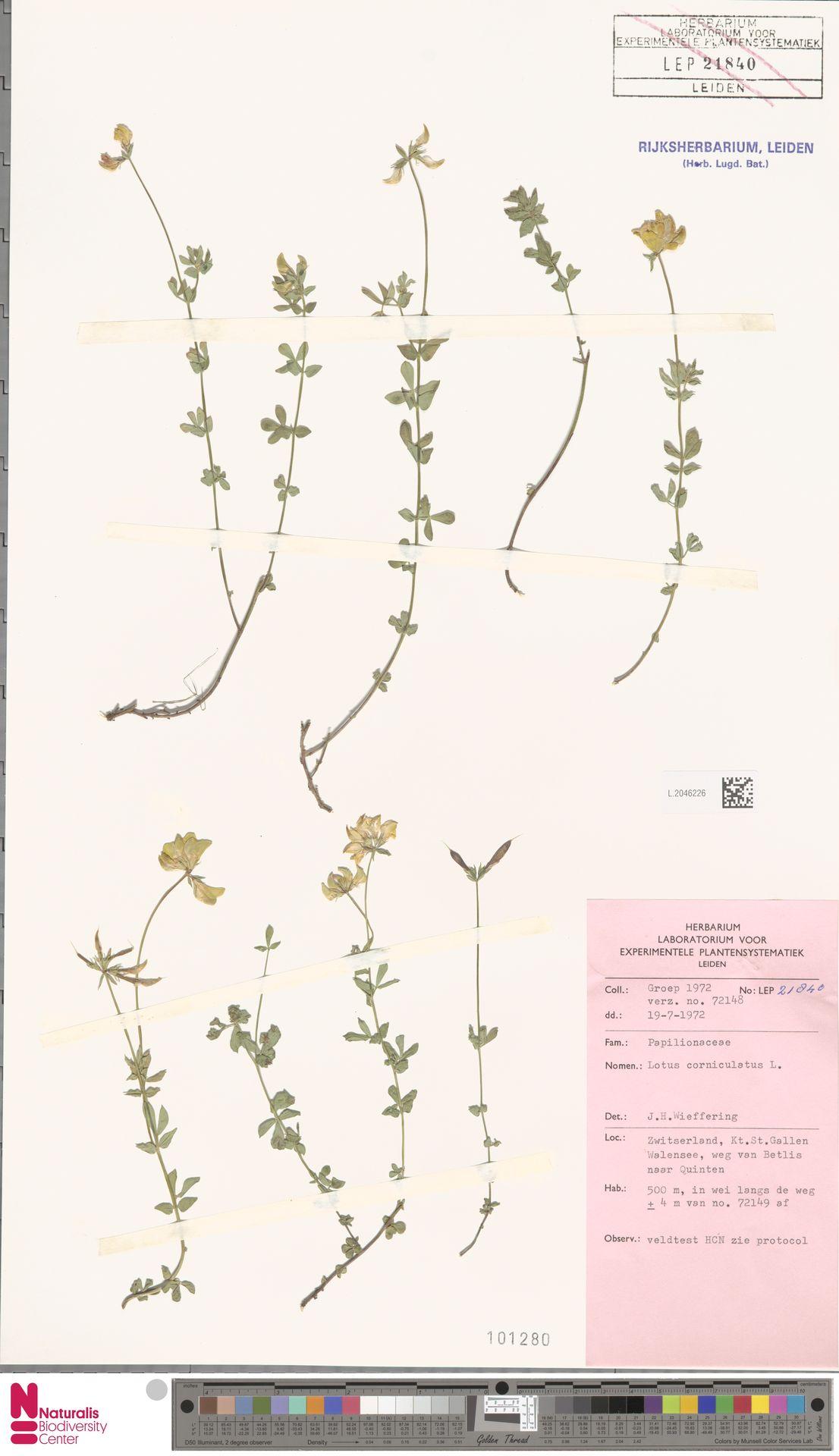 L.2046226 | Lotus corniculatus L.