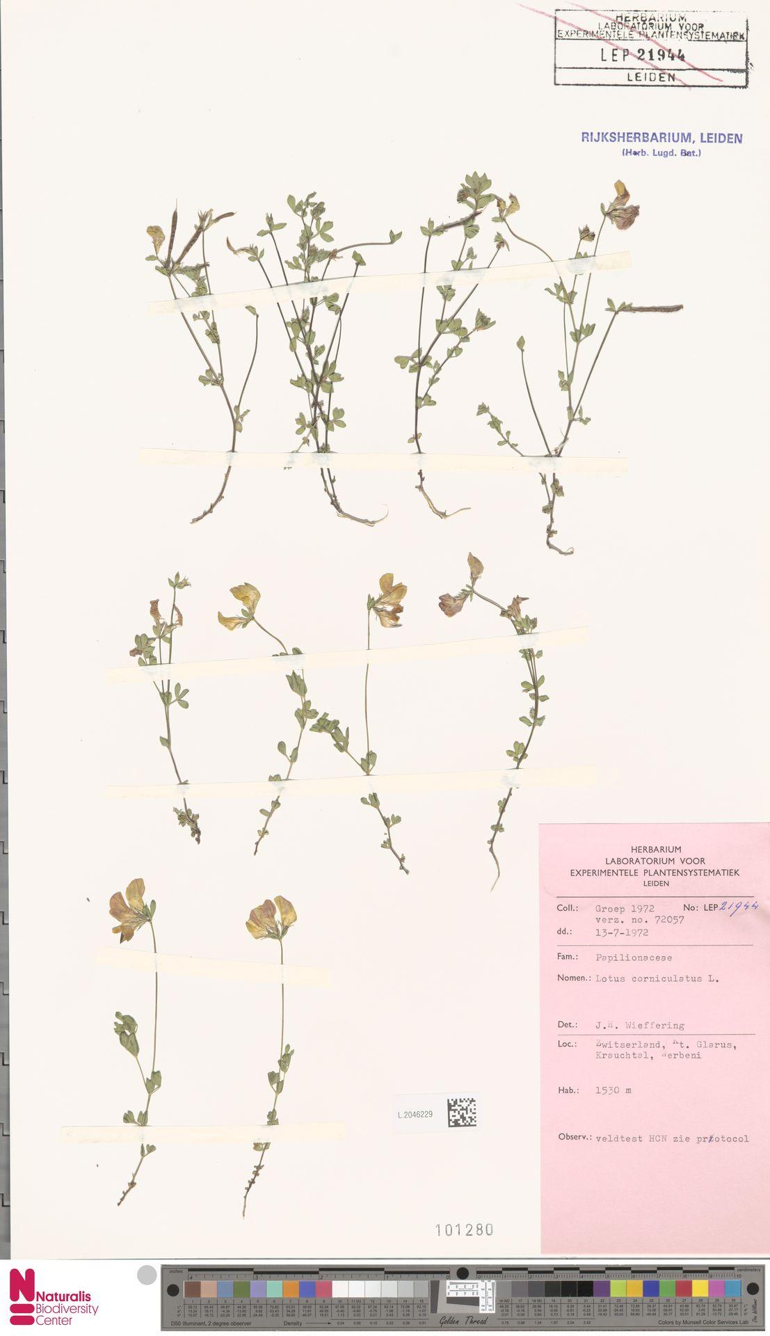 L.2046229 | Lotus corniculatus L.