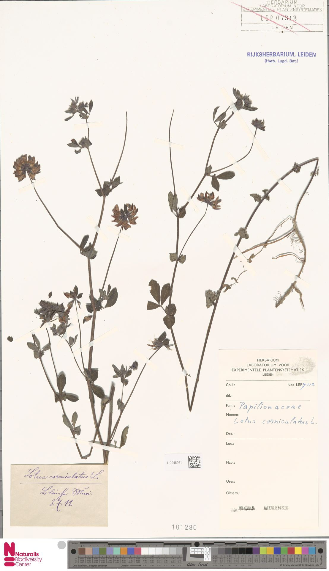 L.2046261 | Lotus corniculatus L.