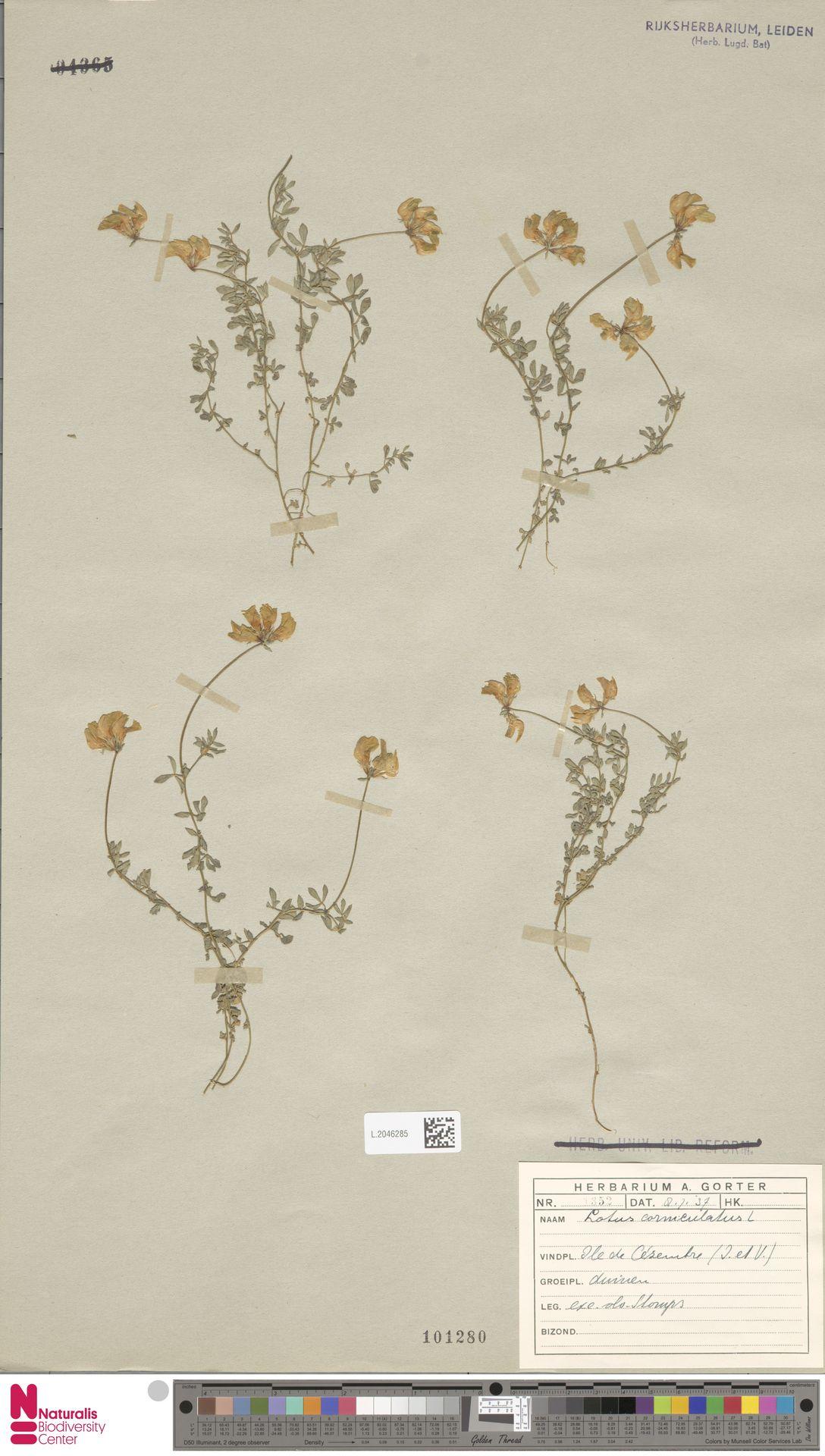 L.2046285 | Lotus corniculatus L.