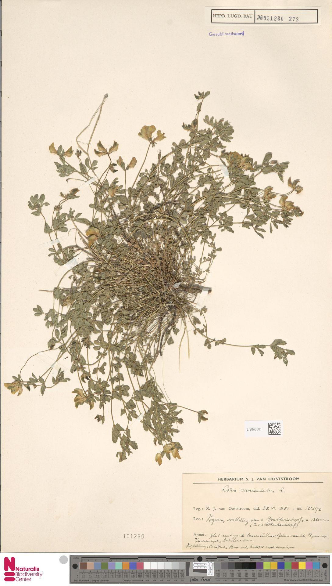 L.2046301 | Lotus corniculatus L.
