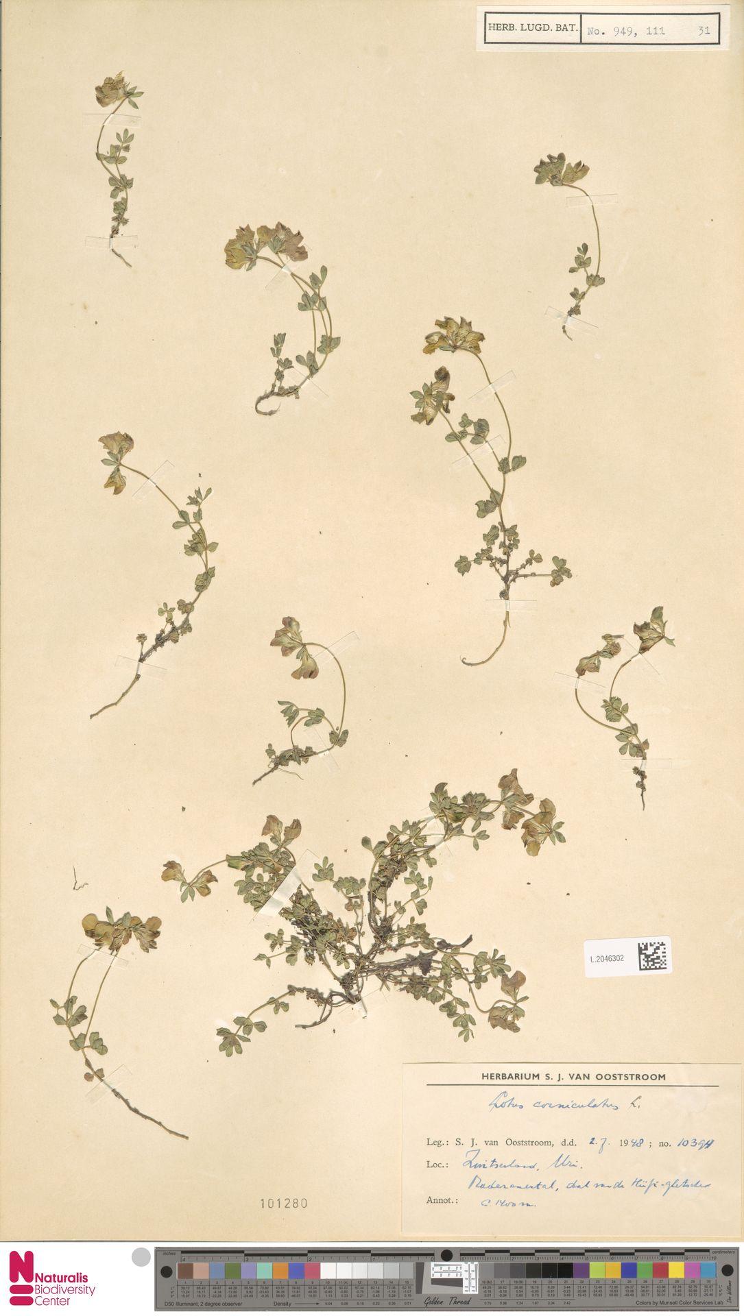 L.2046302 | Lotus corniculatus L.